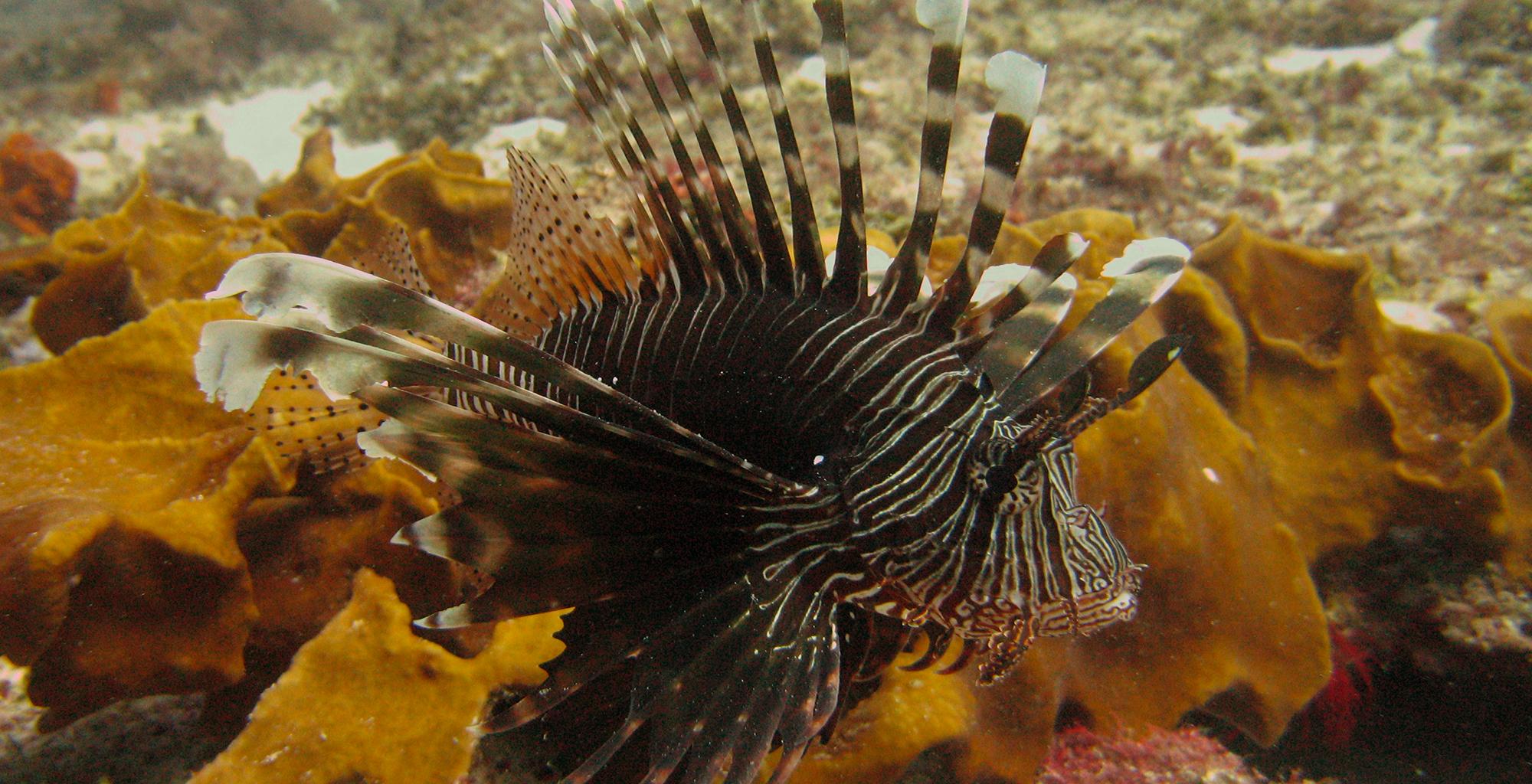 Zanzibar-Archipelago-Lion-Fish