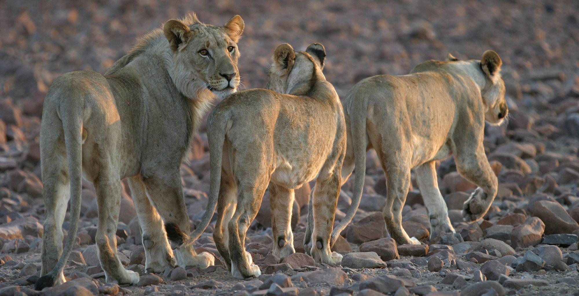 Namibia-Etendeka-Mountain-Camp-Lions