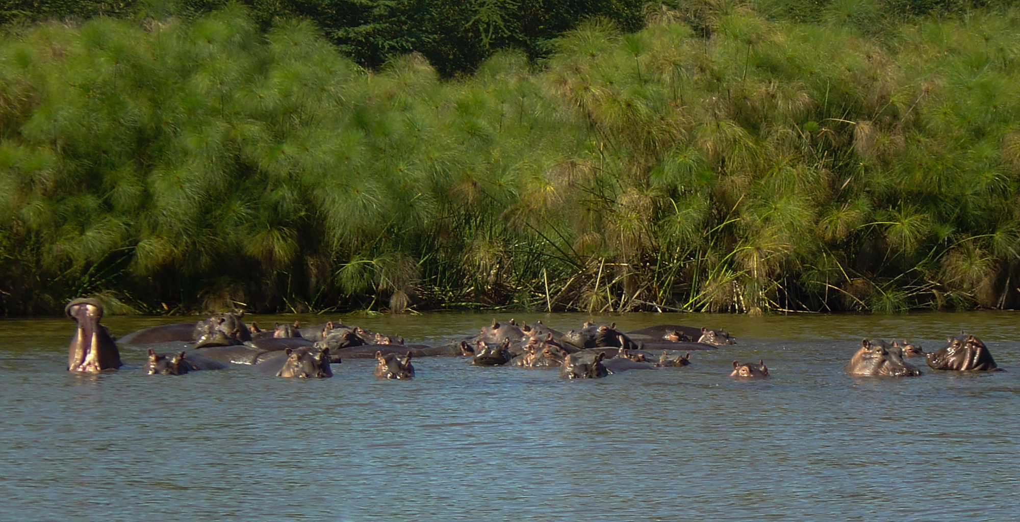 Kenya-Hippo-Point-Tower-Hippos-in-Water