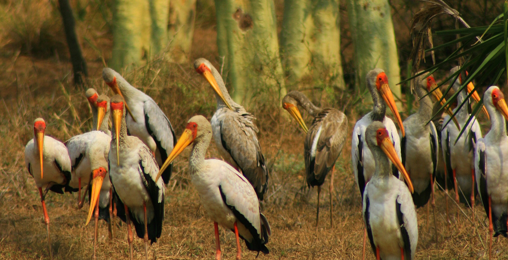 Mozambique-Gorongosa-National-Park-Explora-Gorongosa-Yellow-Billed-Stork