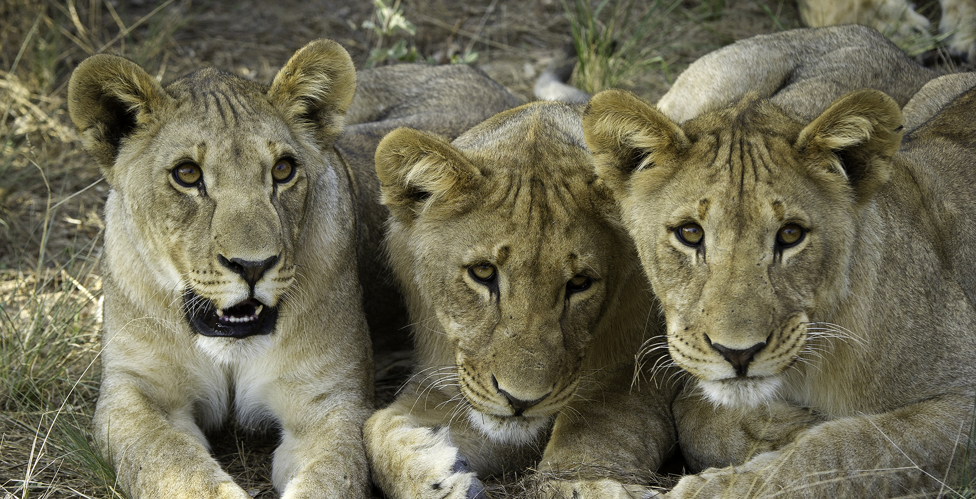 Namibia-Ongava-Tented-Camp-Lions