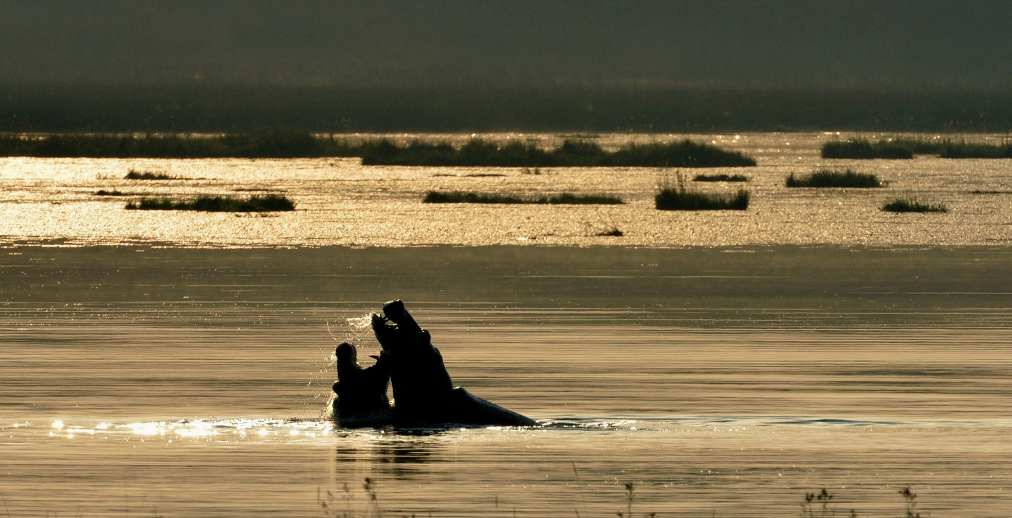Zambia-Kasanka-National-Park-Wildlife-Hippo