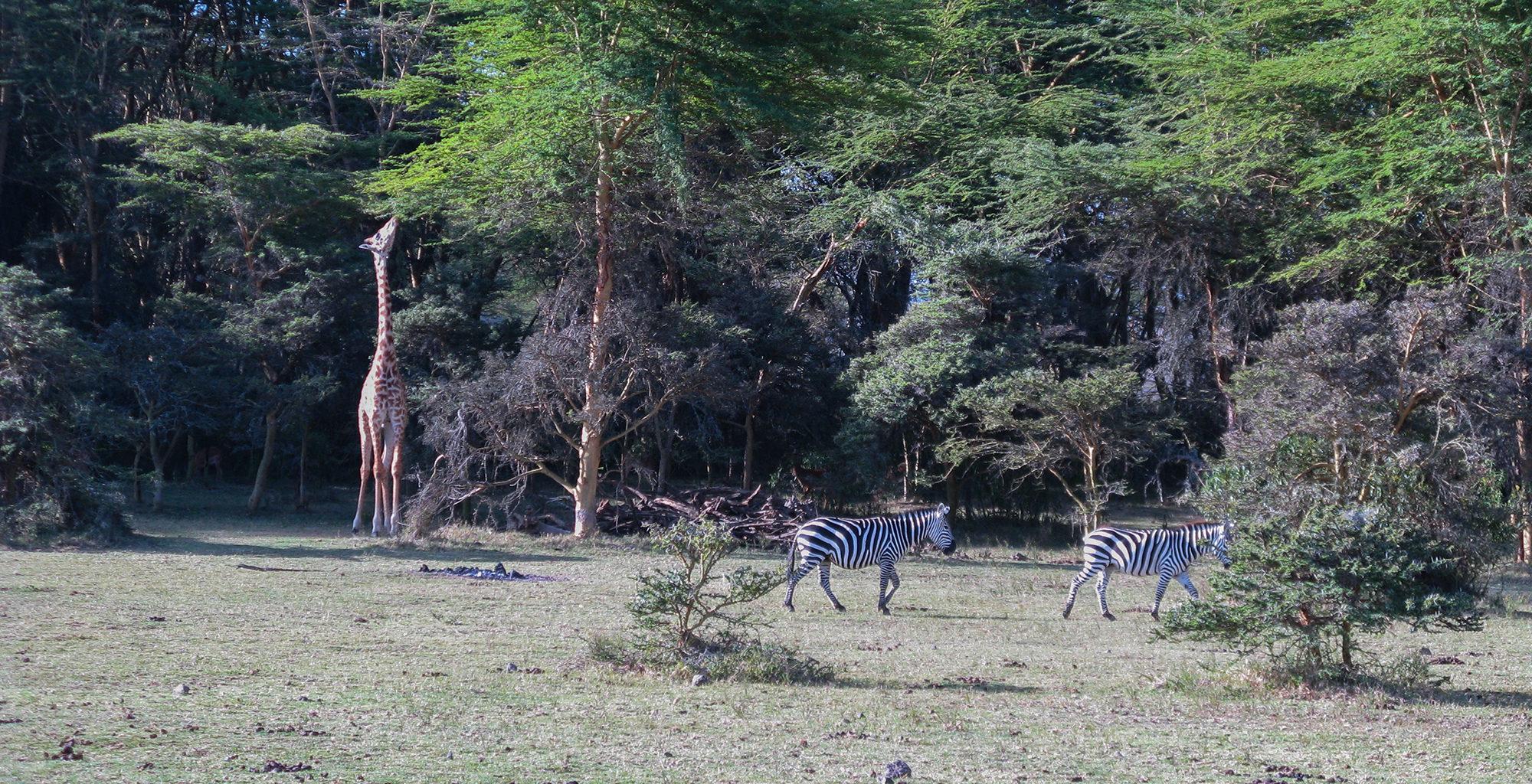 Kenya-Chui-Lodge-Zebra-Giraffe