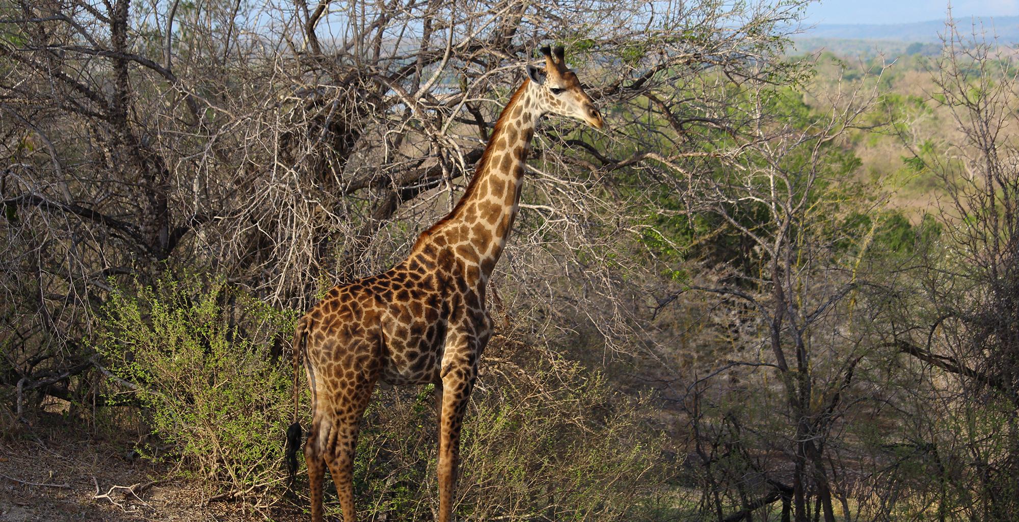 Tanzania-Selous-Walking-Safari-Wildlife-Giraffe