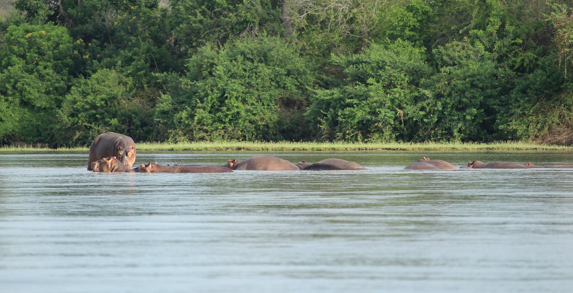 Tanzania-Selous-Walking-Safari-Wildlife-Hippo