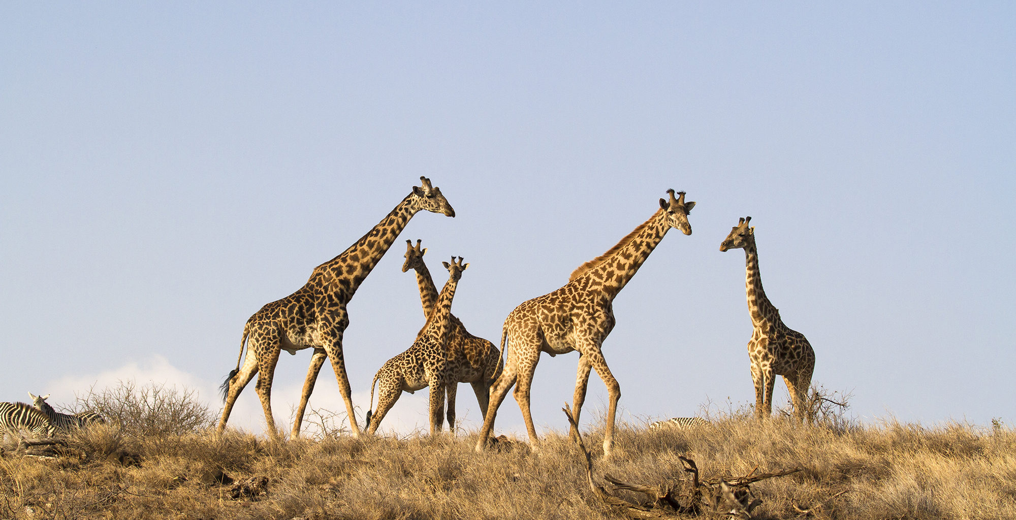 Tanzania-West-Kilimanjaro-Giraffe