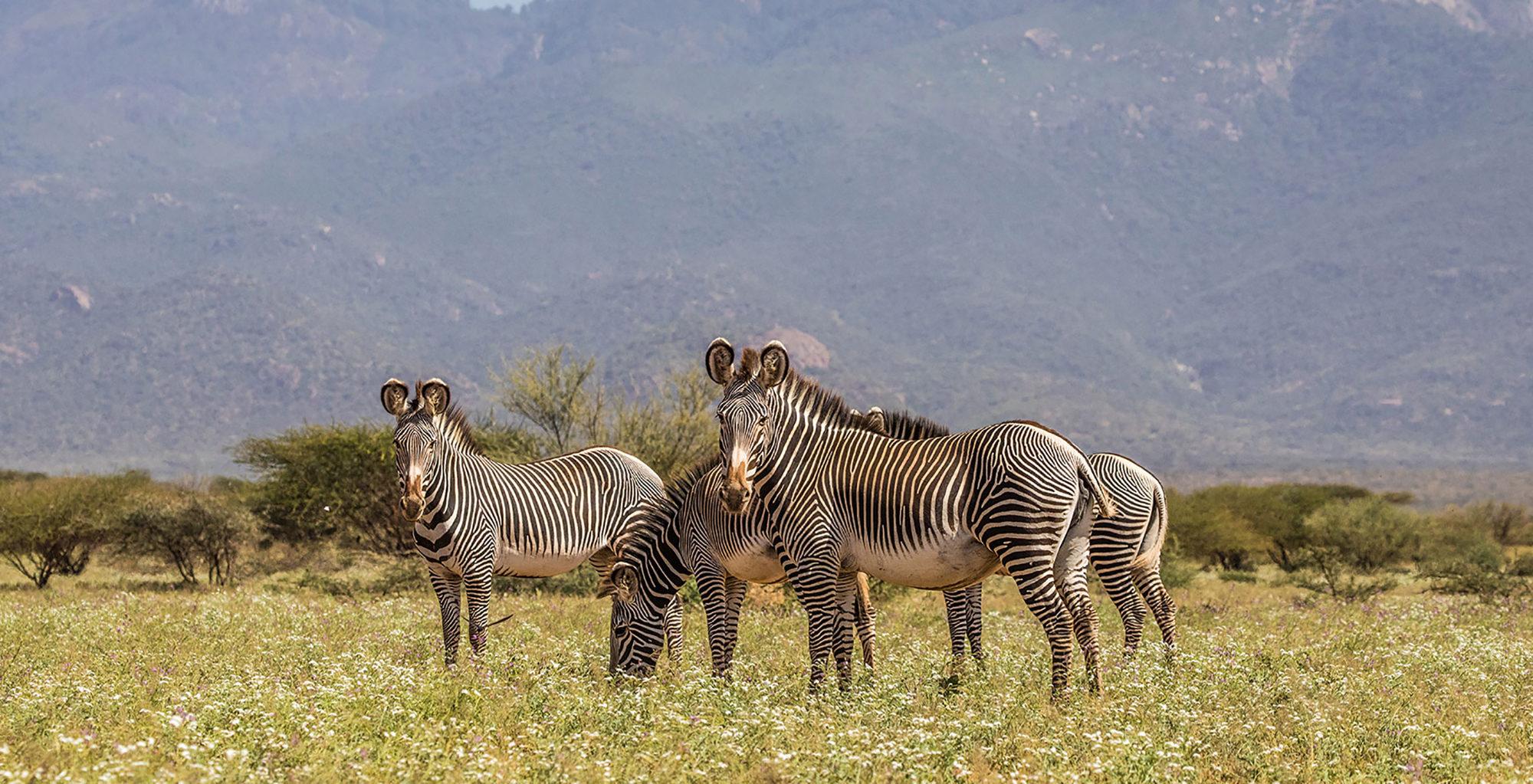 Kenya-Sasaab-Camp-Grevys-Zebra