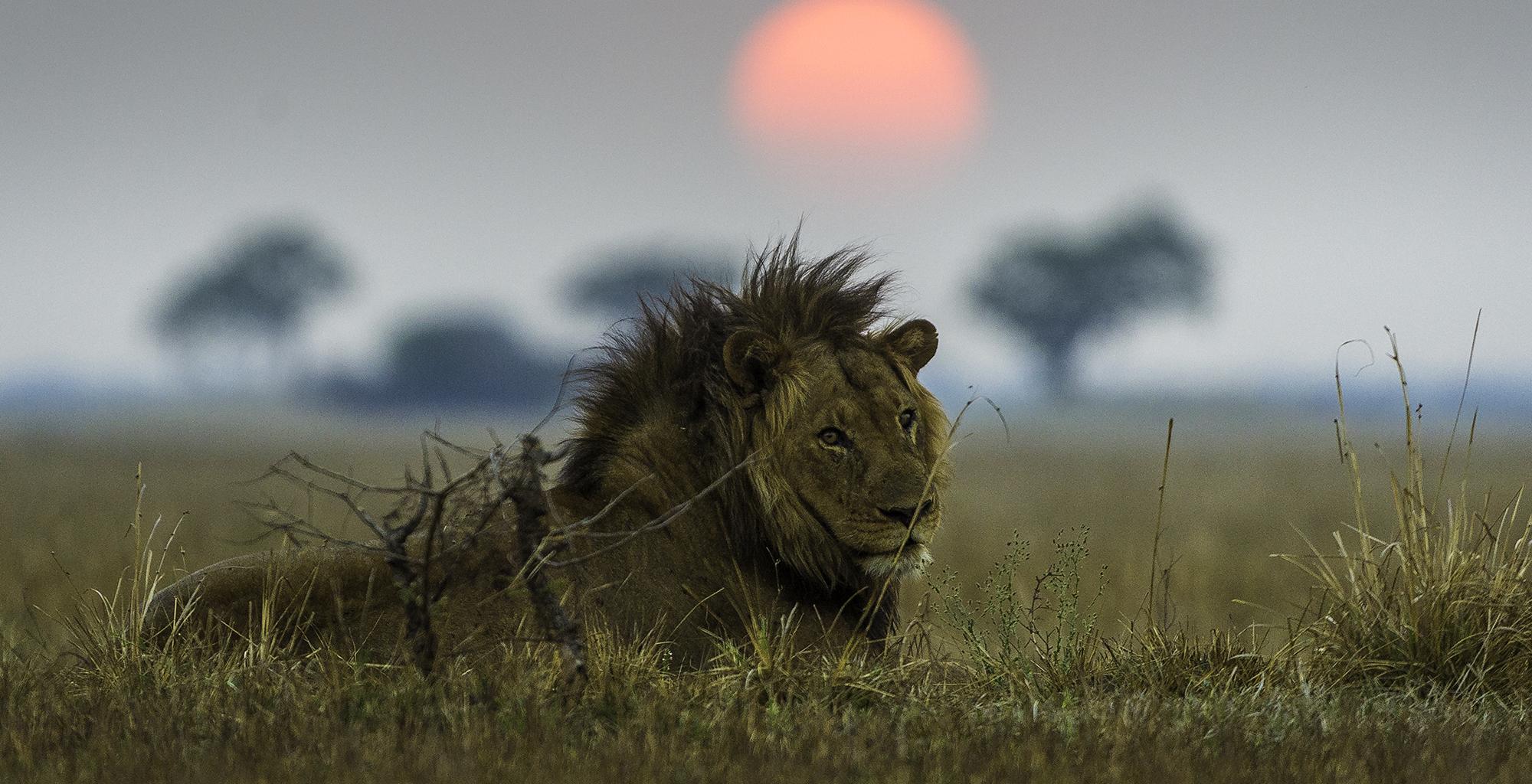 Zambia-Shumba-Camp-Wildlife-Lion