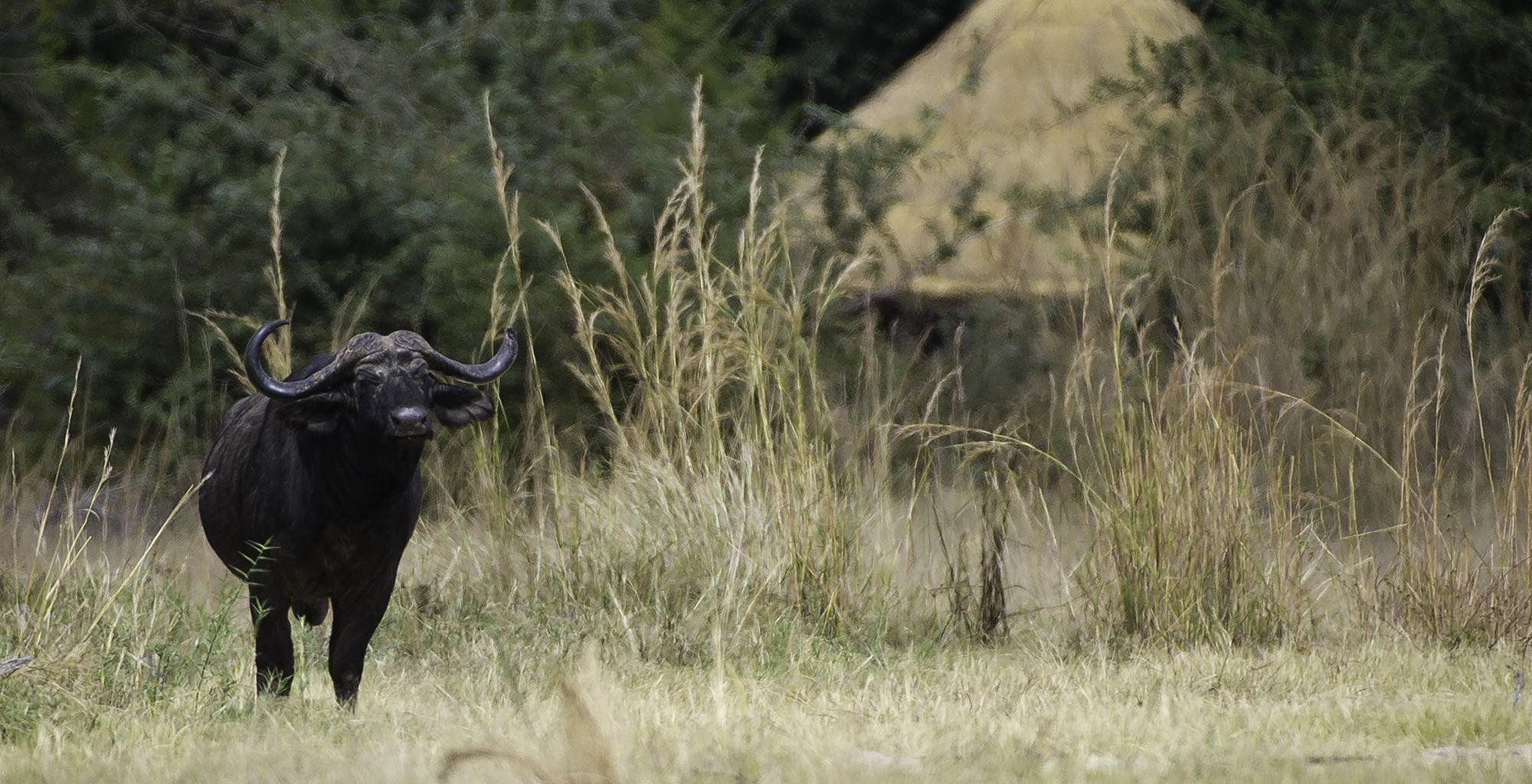 Zambia-Kuyenda-Wildlife-Buffalo