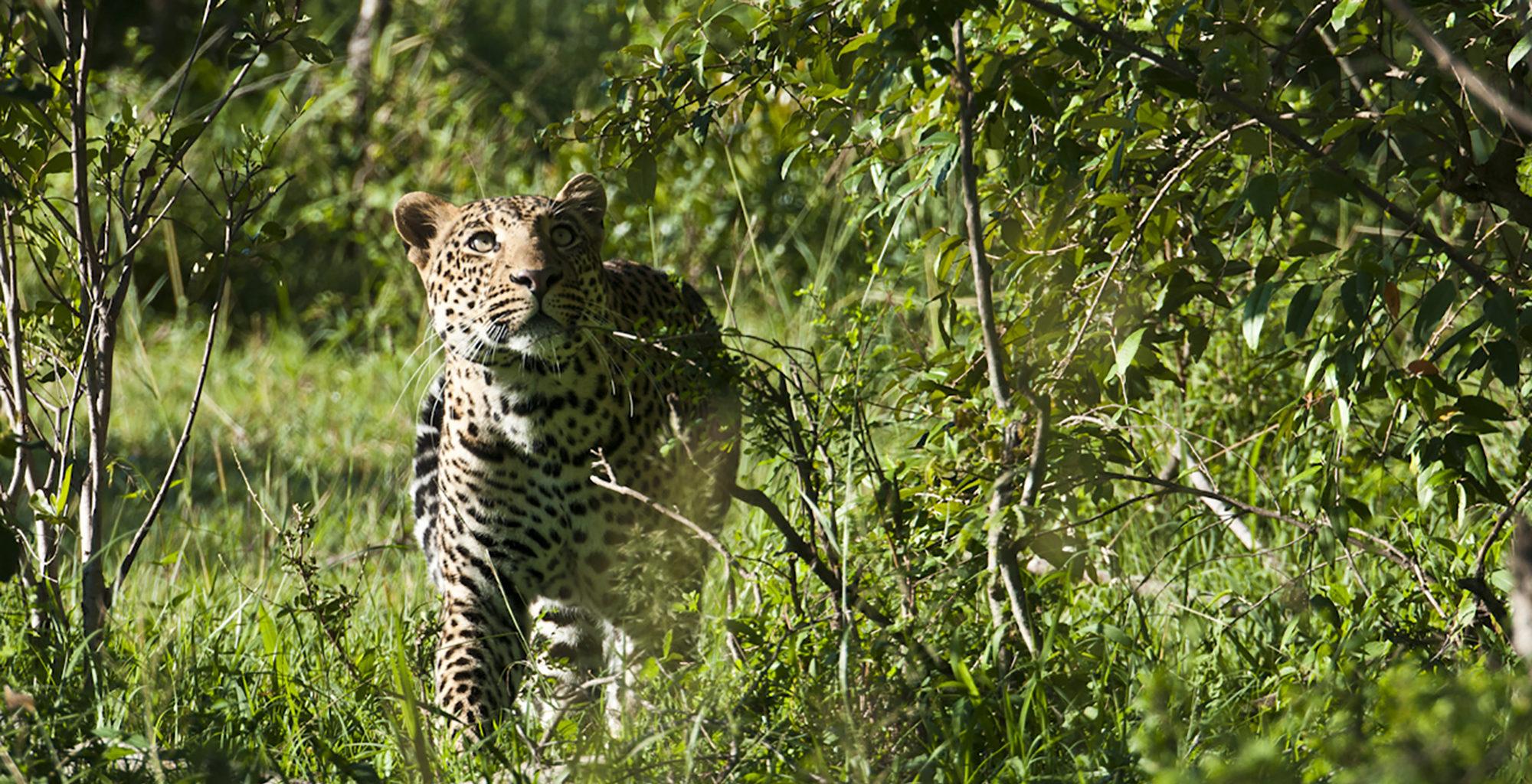 Kenya-Saruni-Mara-Leopard