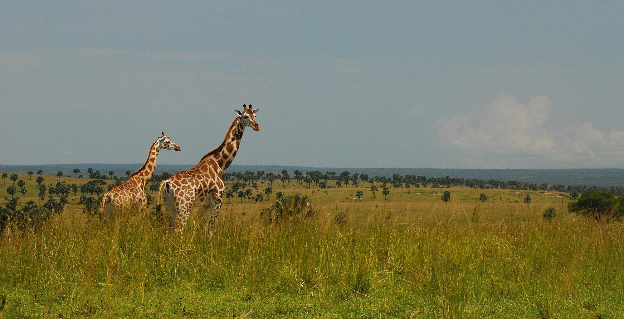 Uganda-Murchison-Falls-Giraffe
