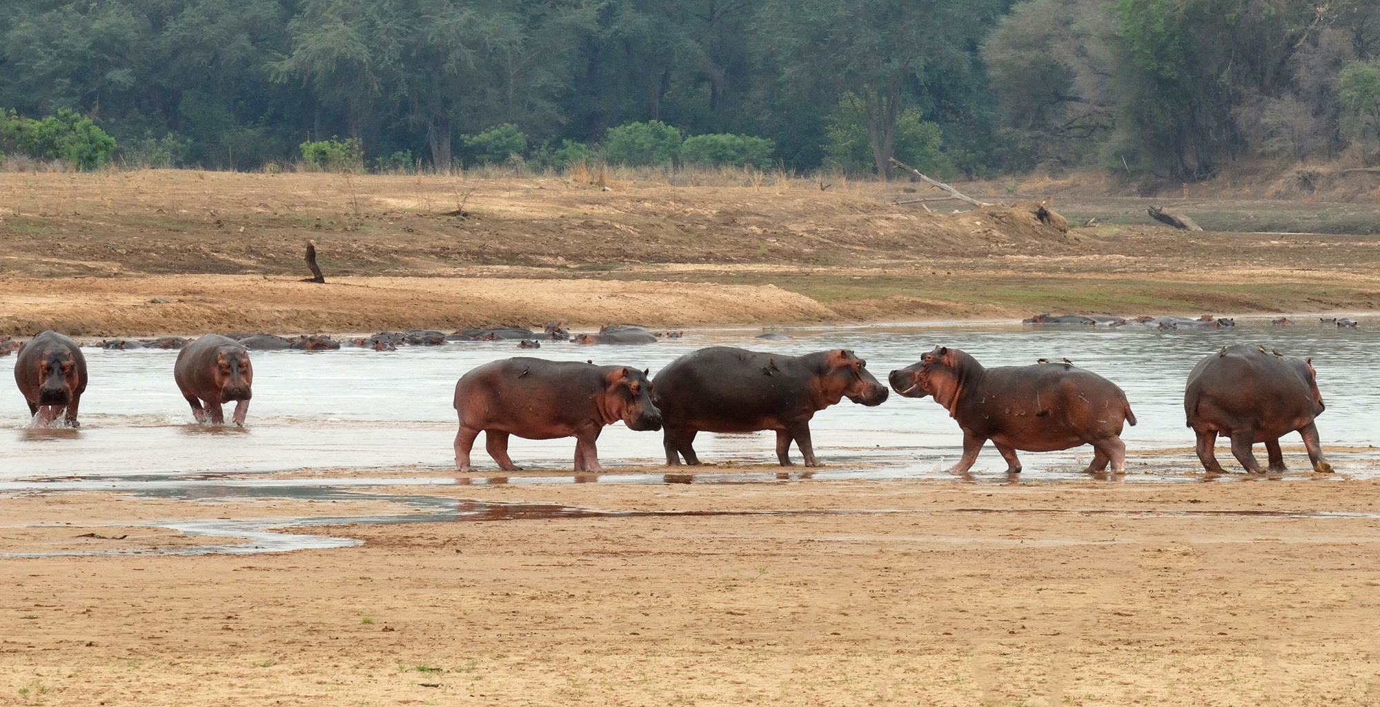 Zambia-Mwaleshi-Camp-Wildlife-Hippo