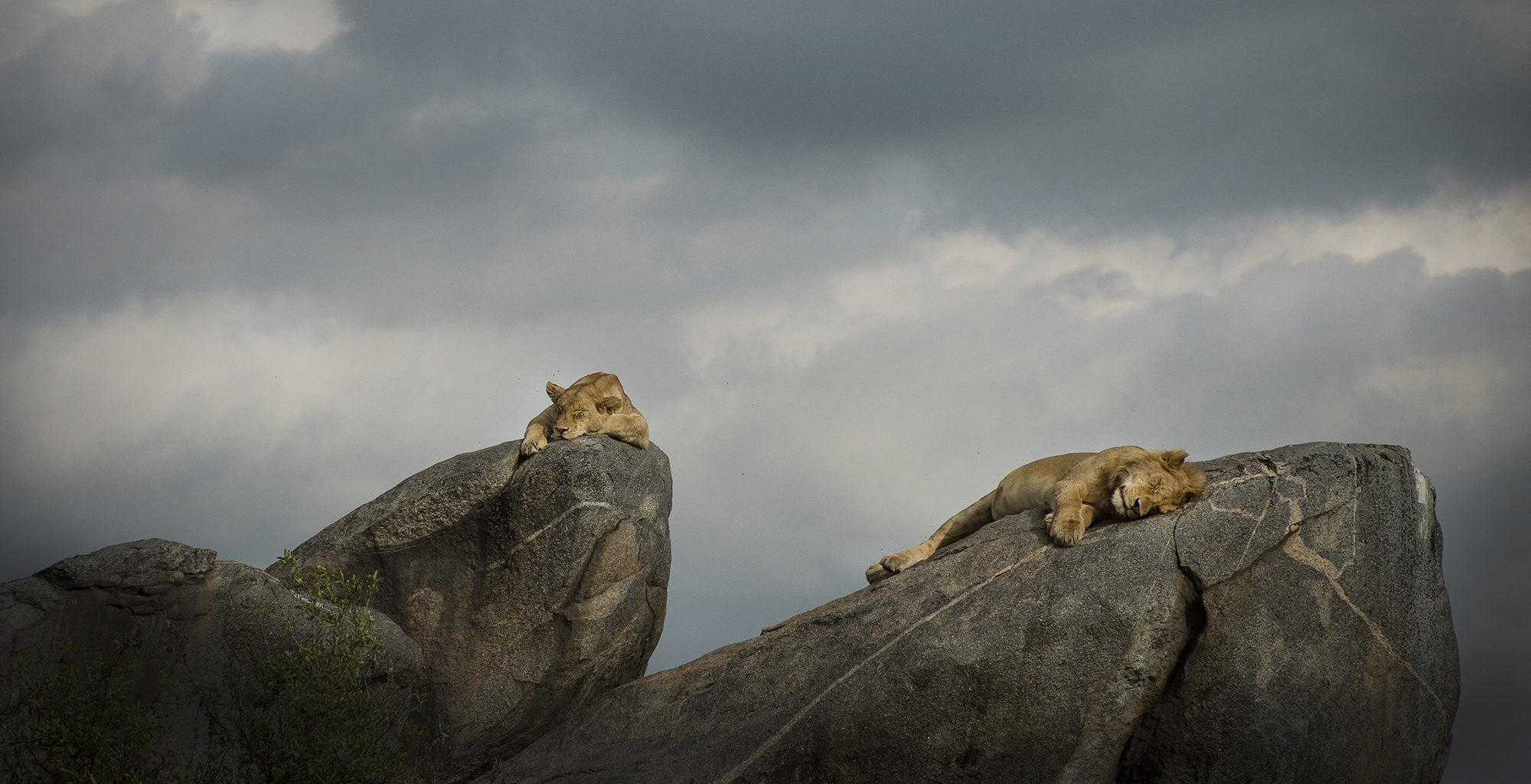 Tanzania-Serengeti-National-Park-Lions