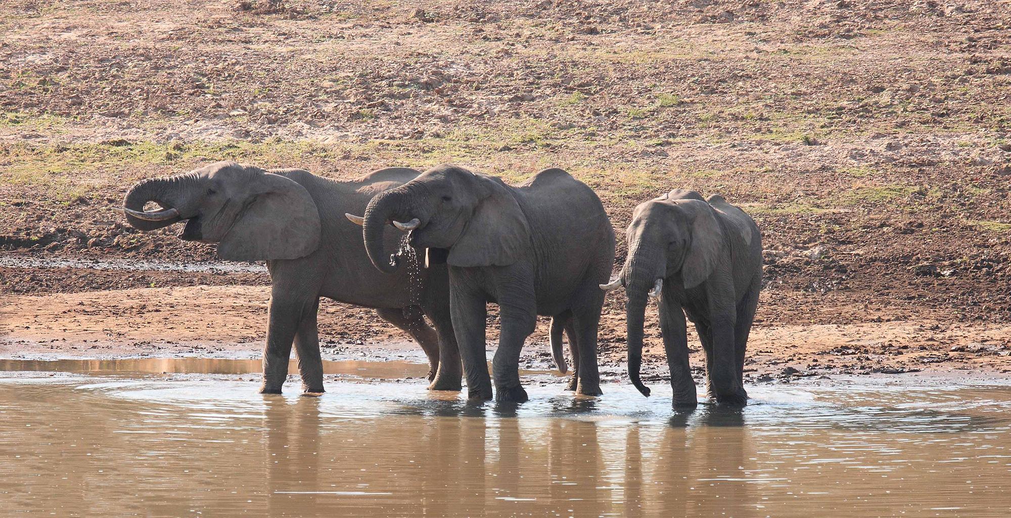 Zambia-Chinzombo-Wildlife-Elephant