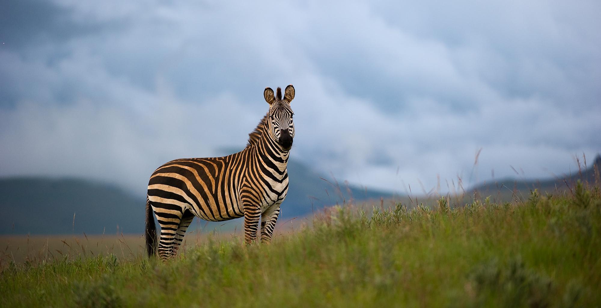 Malawi-Nyika-National-Park-Chelinda-Lodge-Zebra