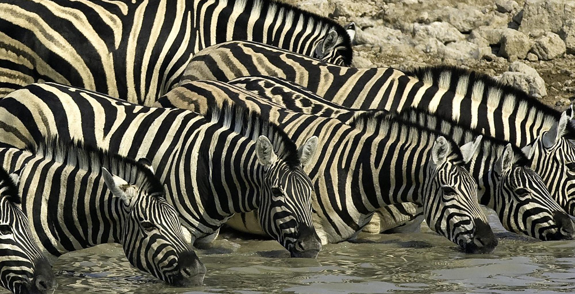 Namibia-Little-Ongava-Lodge-Zebras