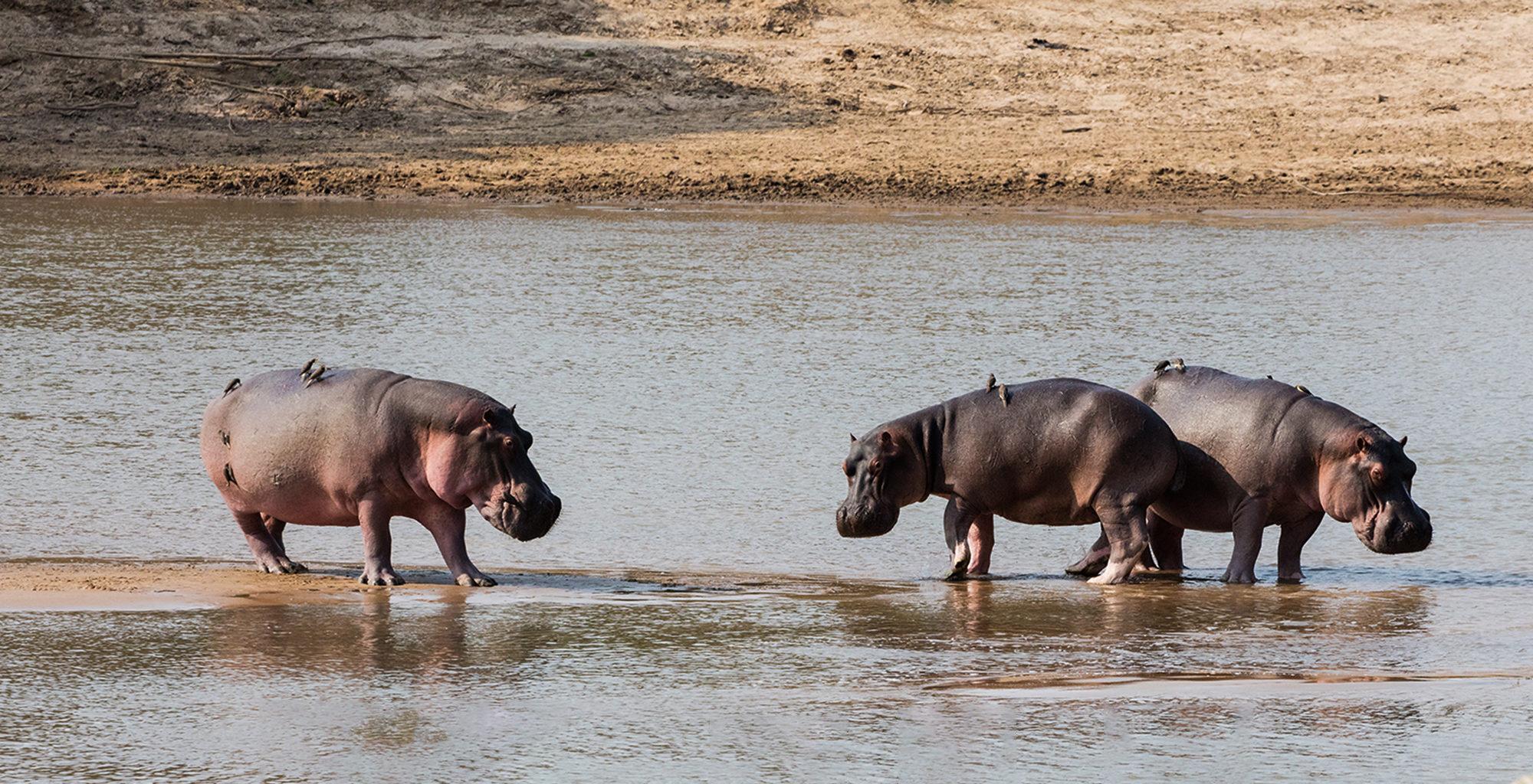 Zambia-North-Luangwa-Wildlife-Hippo