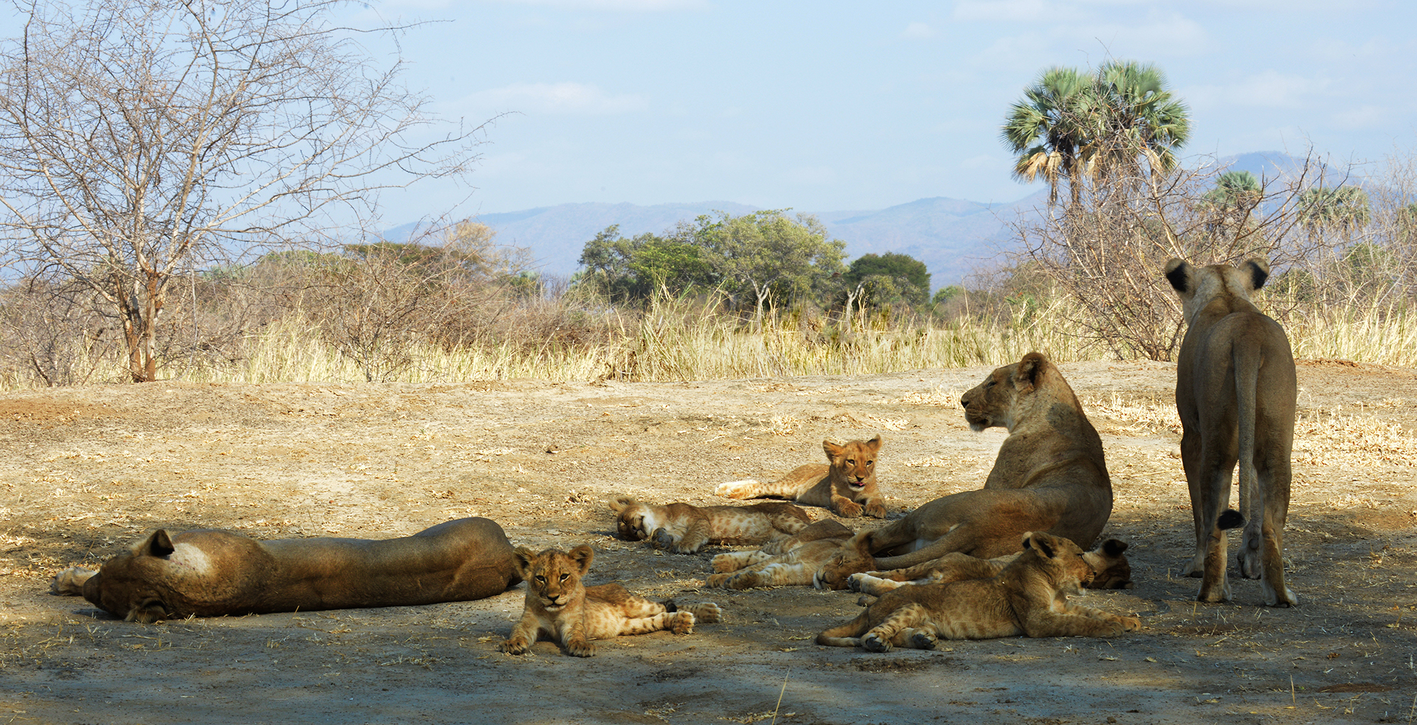 Zambia-Sausage-Tree-Wildlife-Lion