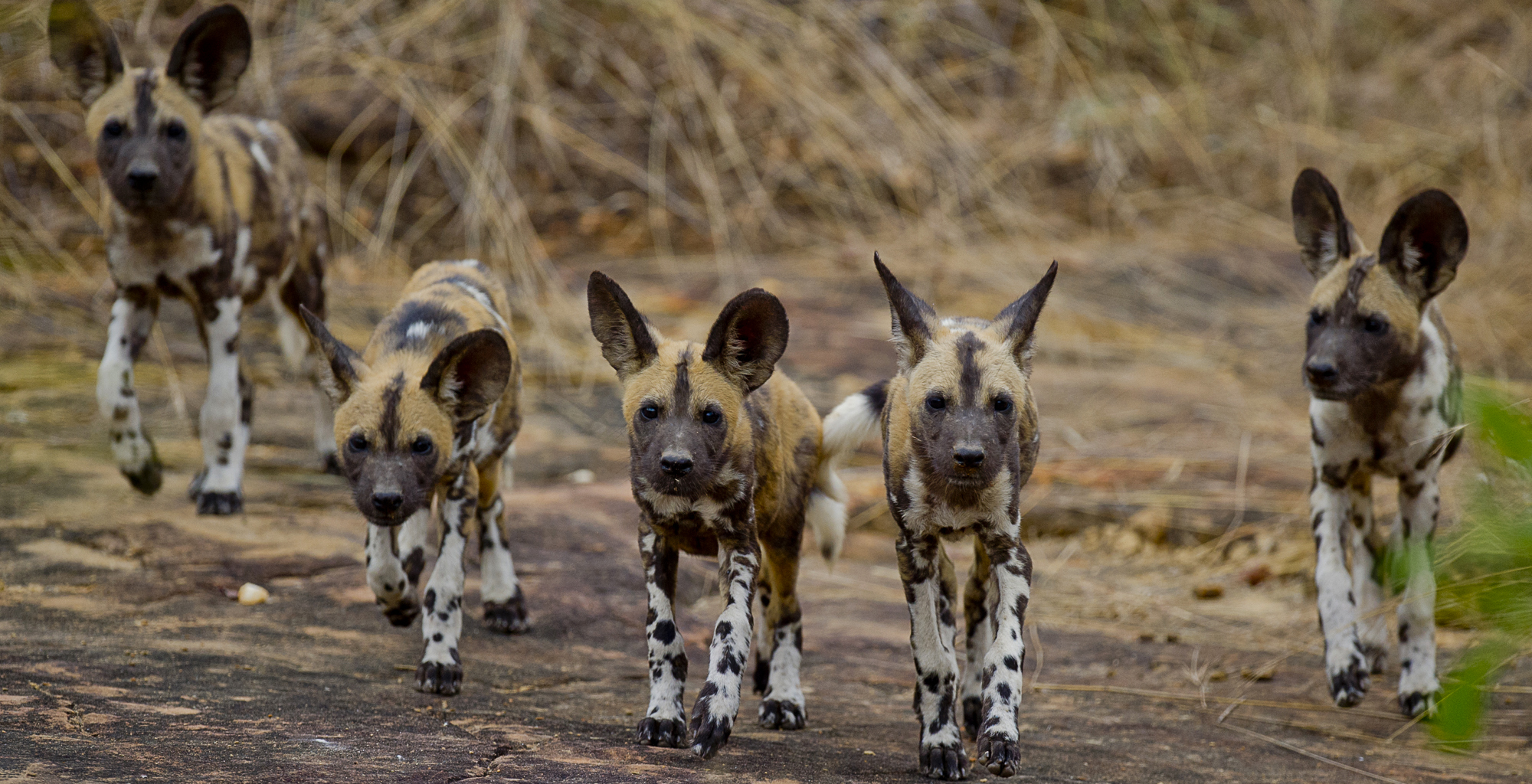 Tanzania-Selous-Game-Reserve-Wild-Dog