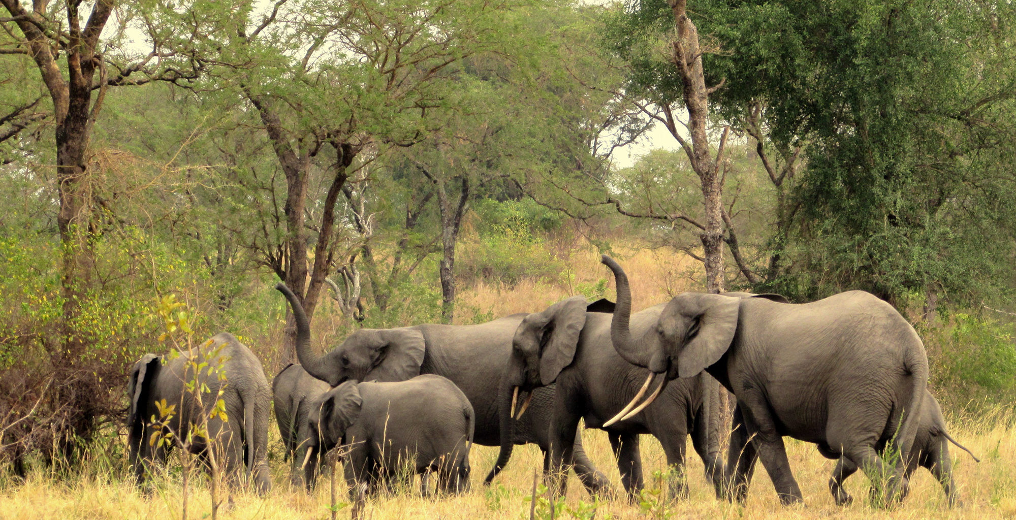 Uganda-Semliki-National-Park-Elephants