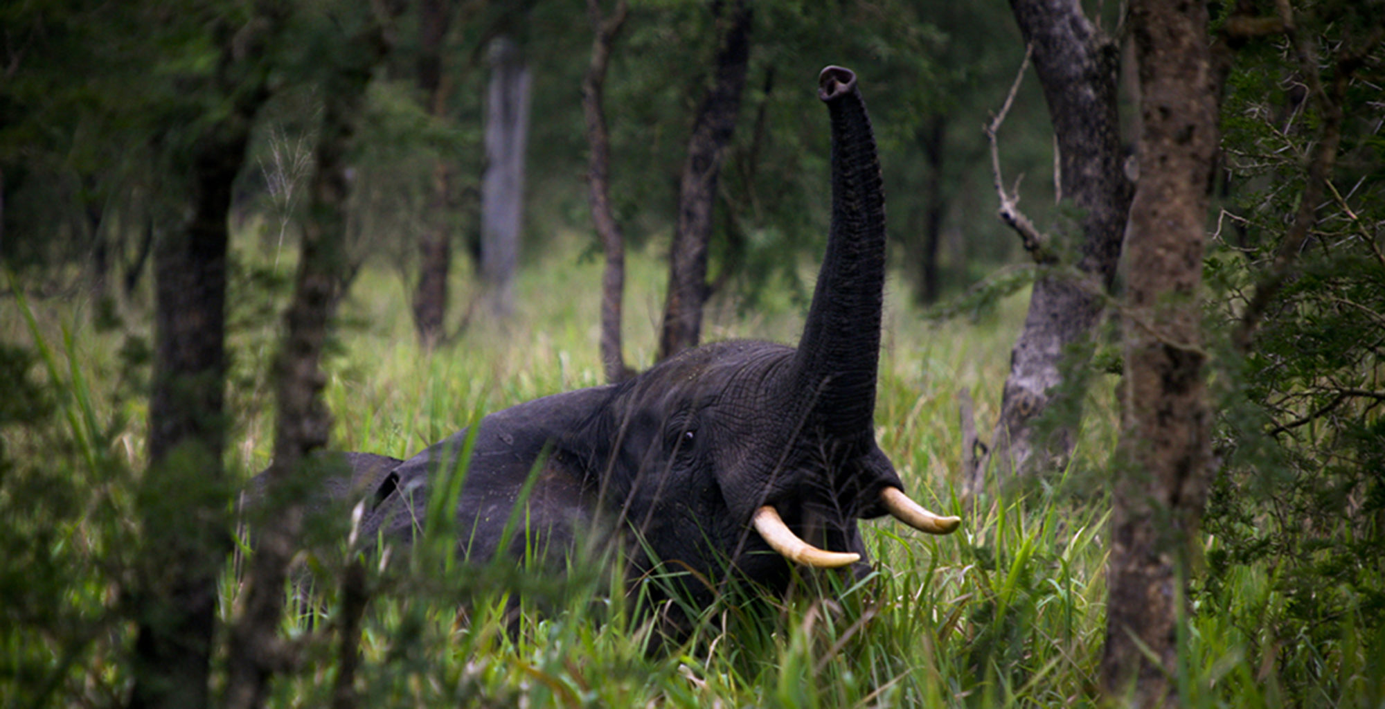 Uganda-Semliki-National-Park-Wildlife-Elephant