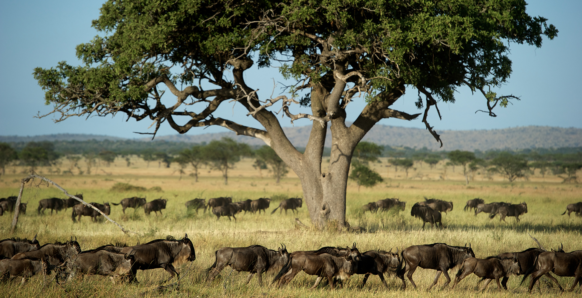 Tanzania-Grumeti-Reserves-Wildebeest