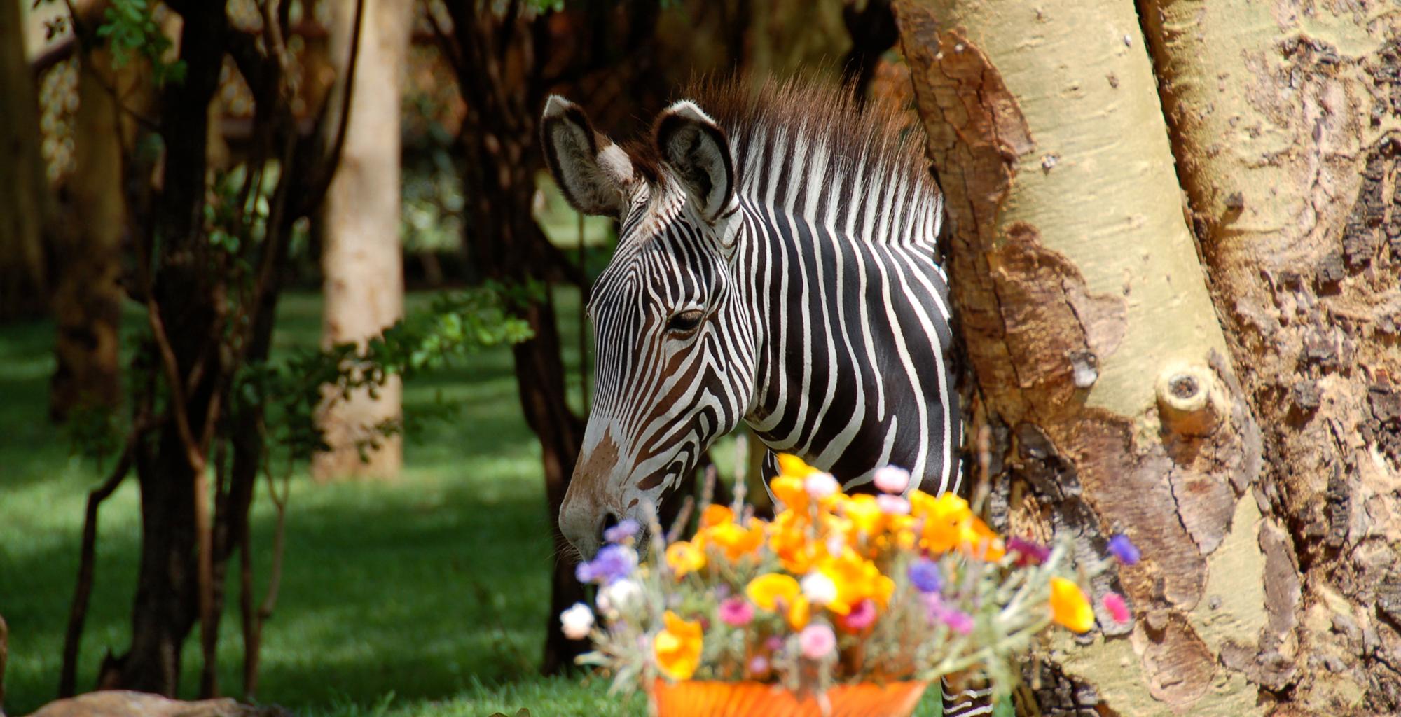 Kenya-Sirikoi-House-Zebra