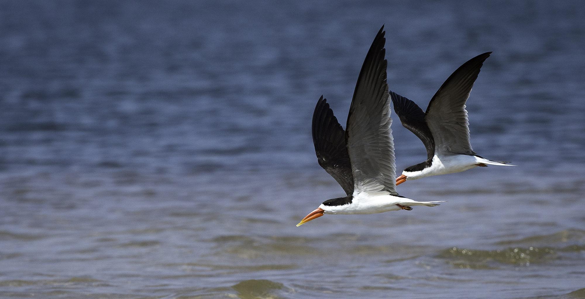 Zambia-Victoria-Falls-Birds