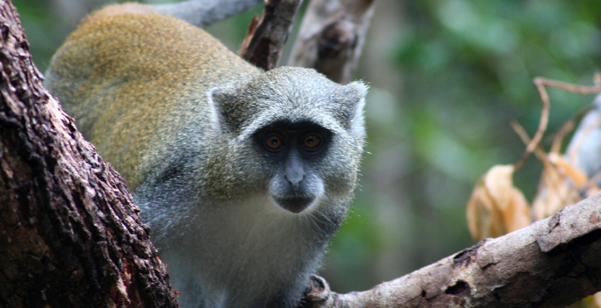 Mozambique-Quirimbas-Archipelago-Wildlife-Samango-Monkey