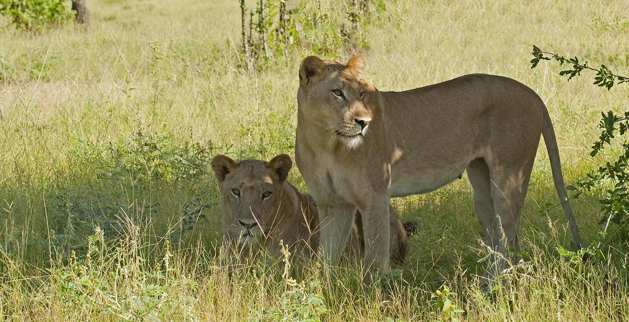 Zambia-Chichele-Presidential-Wildlife-Lion