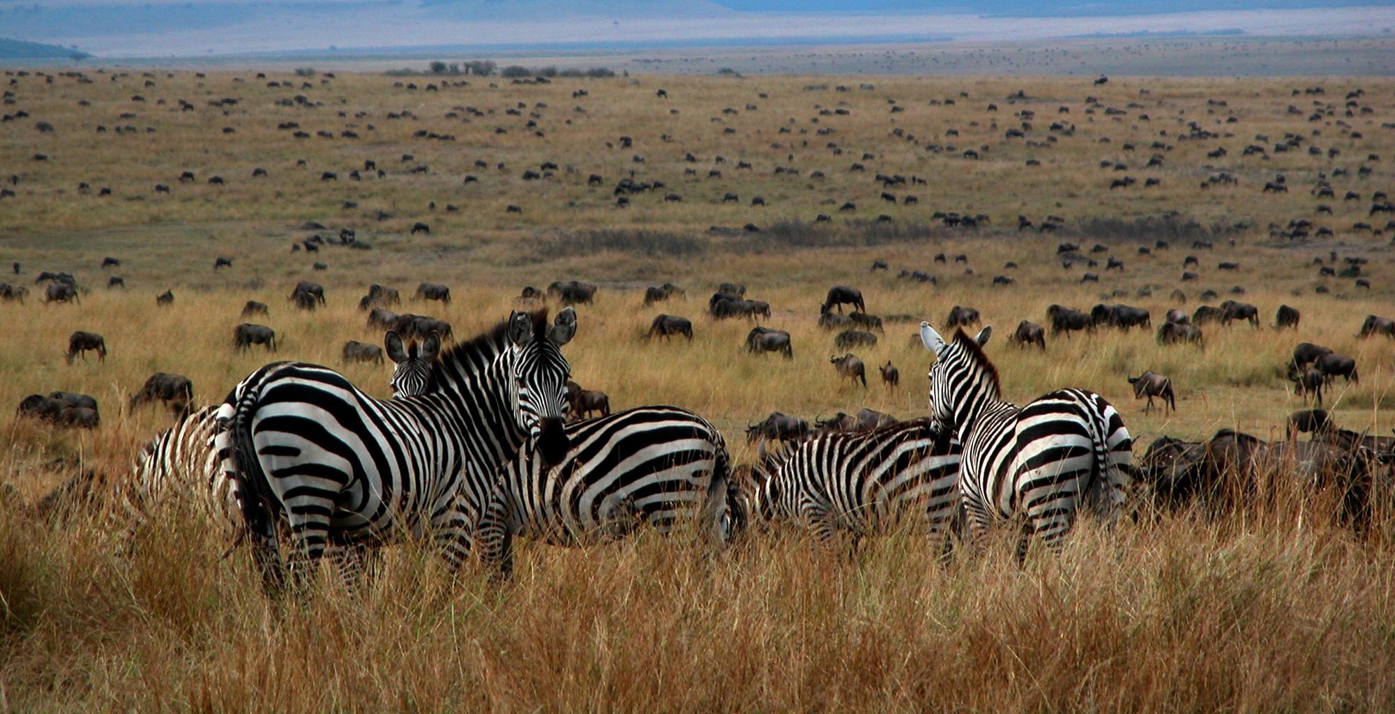 Kenya-Serian-Zebras