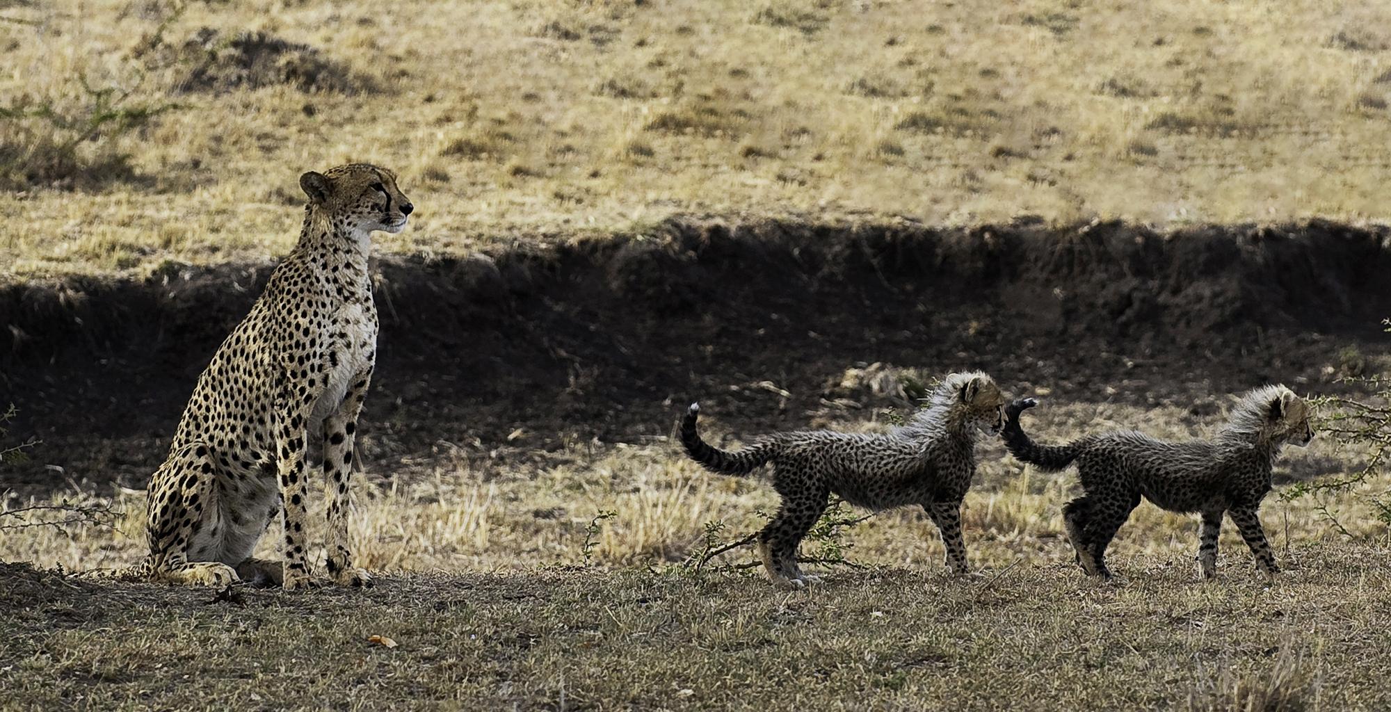 Kenya-Mara-Plains-Camp-Cheetah