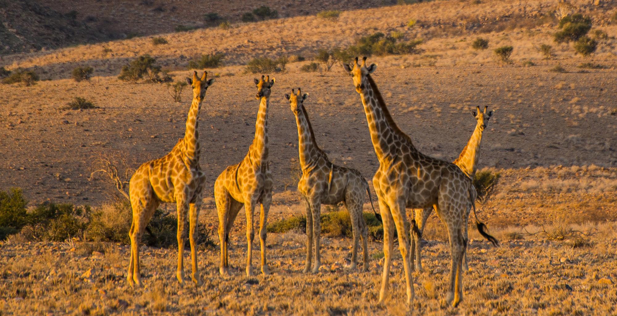 Namibia-Greater-Sossusvlei-Wildlife-Giraffe