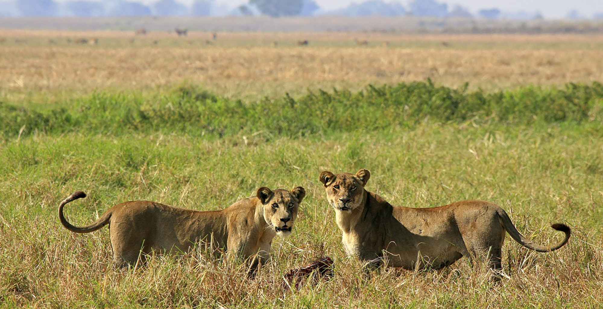 Zambia-Kapinga-Camp-Wildlife-Lion