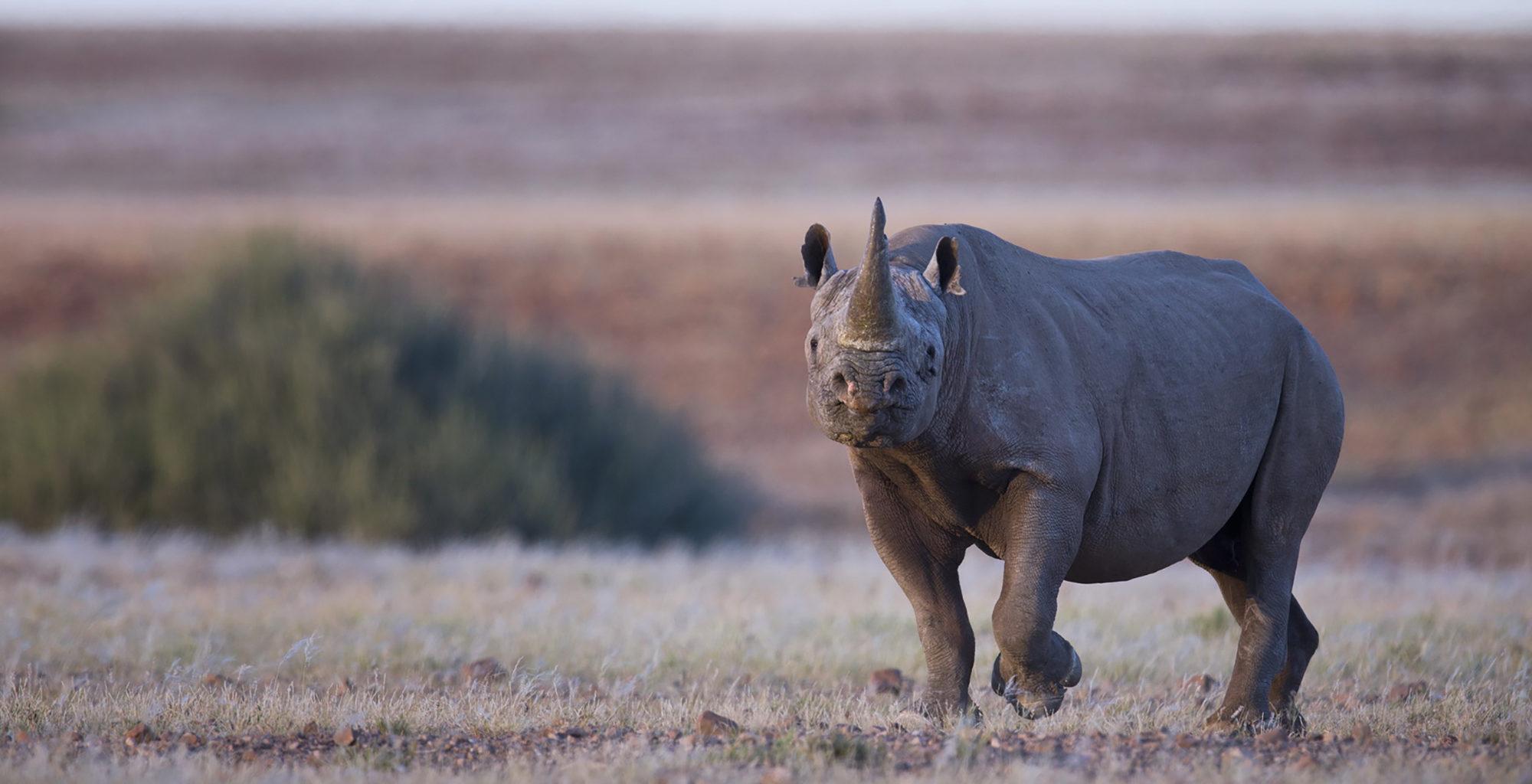 Namibia-Damaraland-Wildlife-Rhino