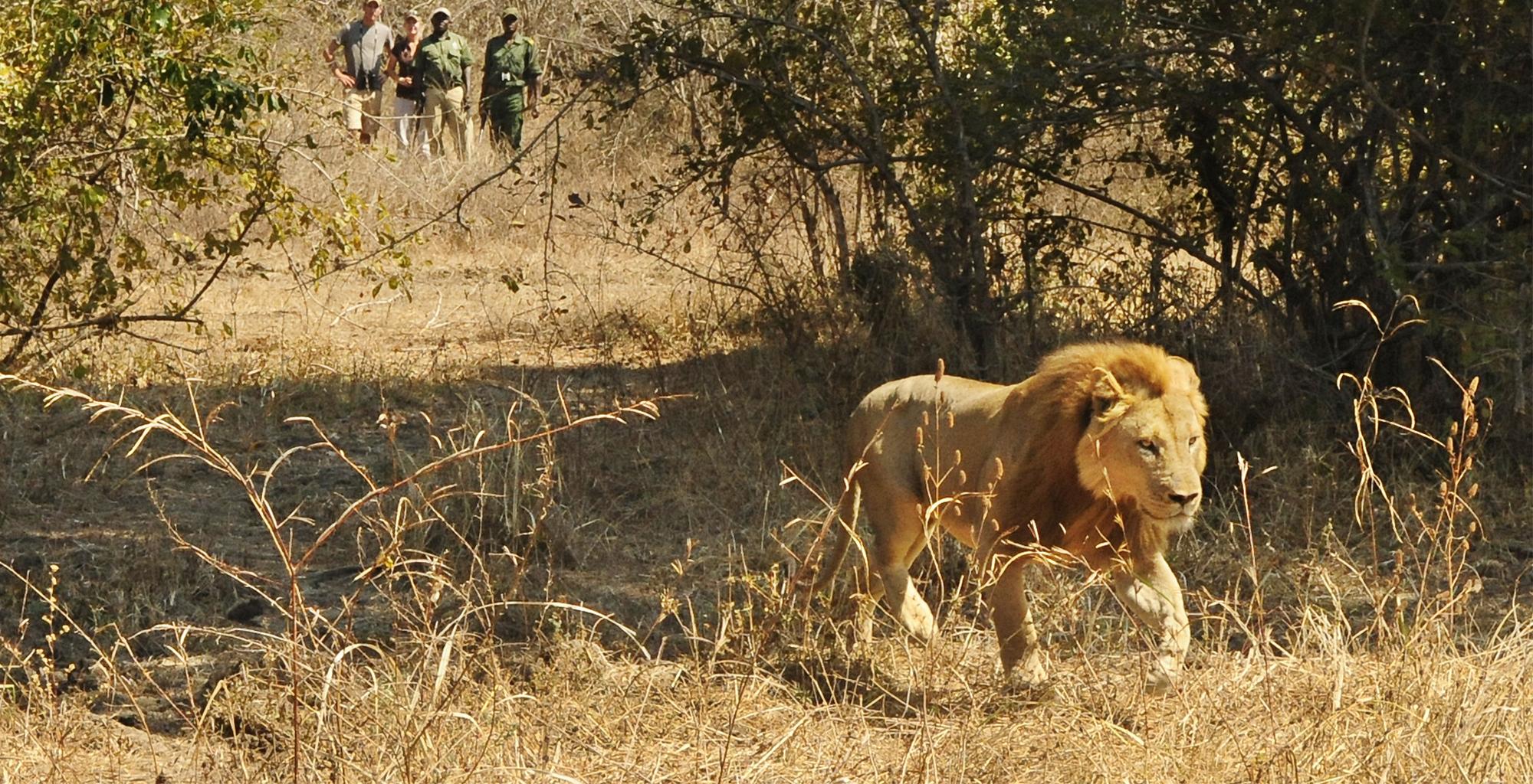 Zambia-Luwi-Camp-Wildlife-Lion