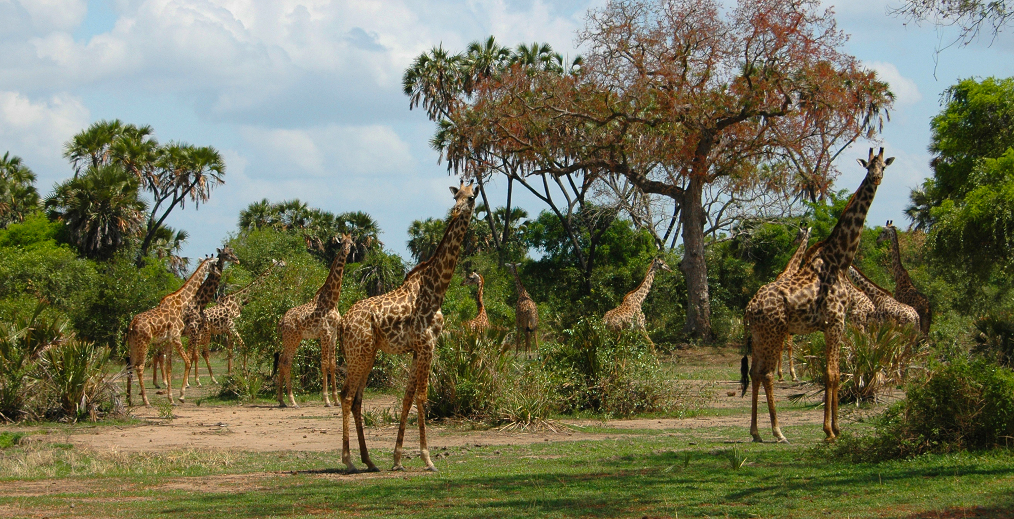 Tanzania-Selous-Game-Reserve-Wildlife-Giraffe