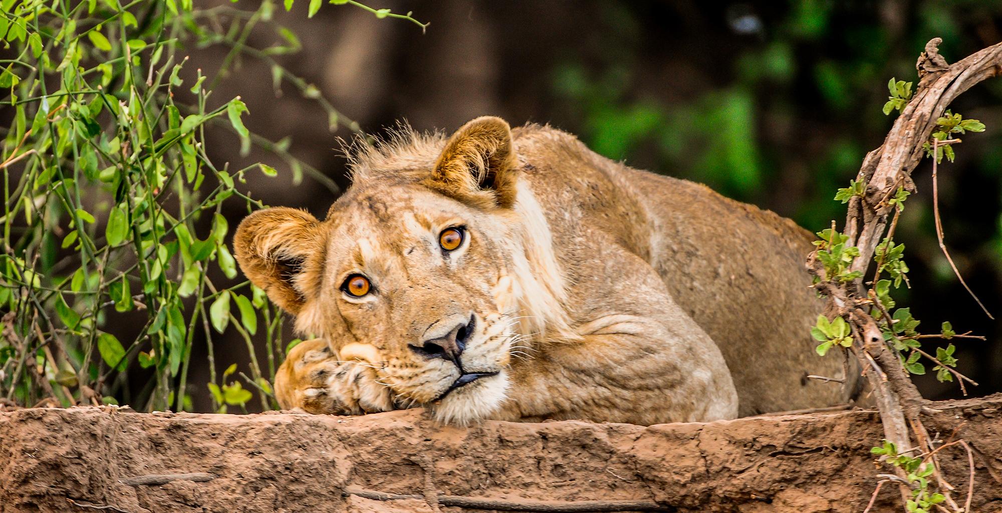 Zambia-Royal-Zambezi-Wildlife-Lion