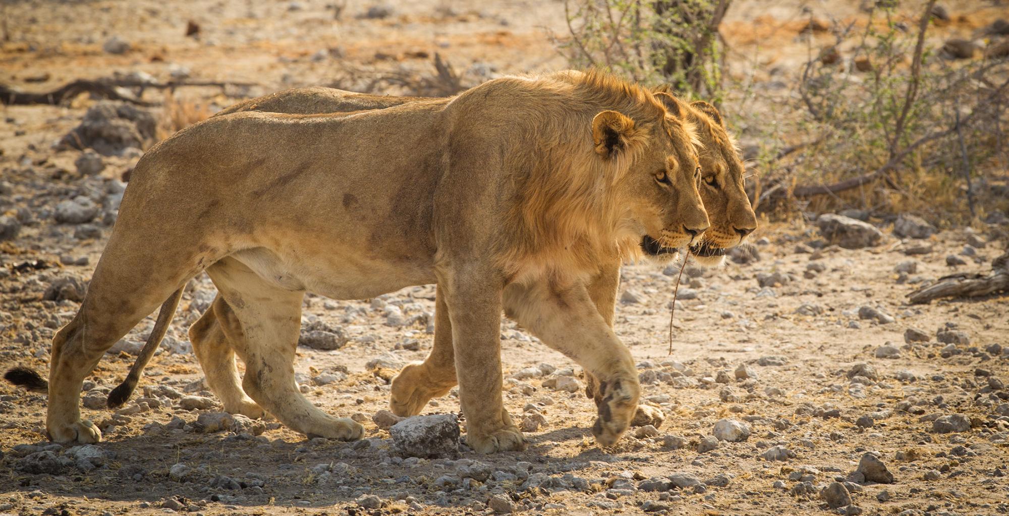 Namibia-Onguma-Fort-Lions