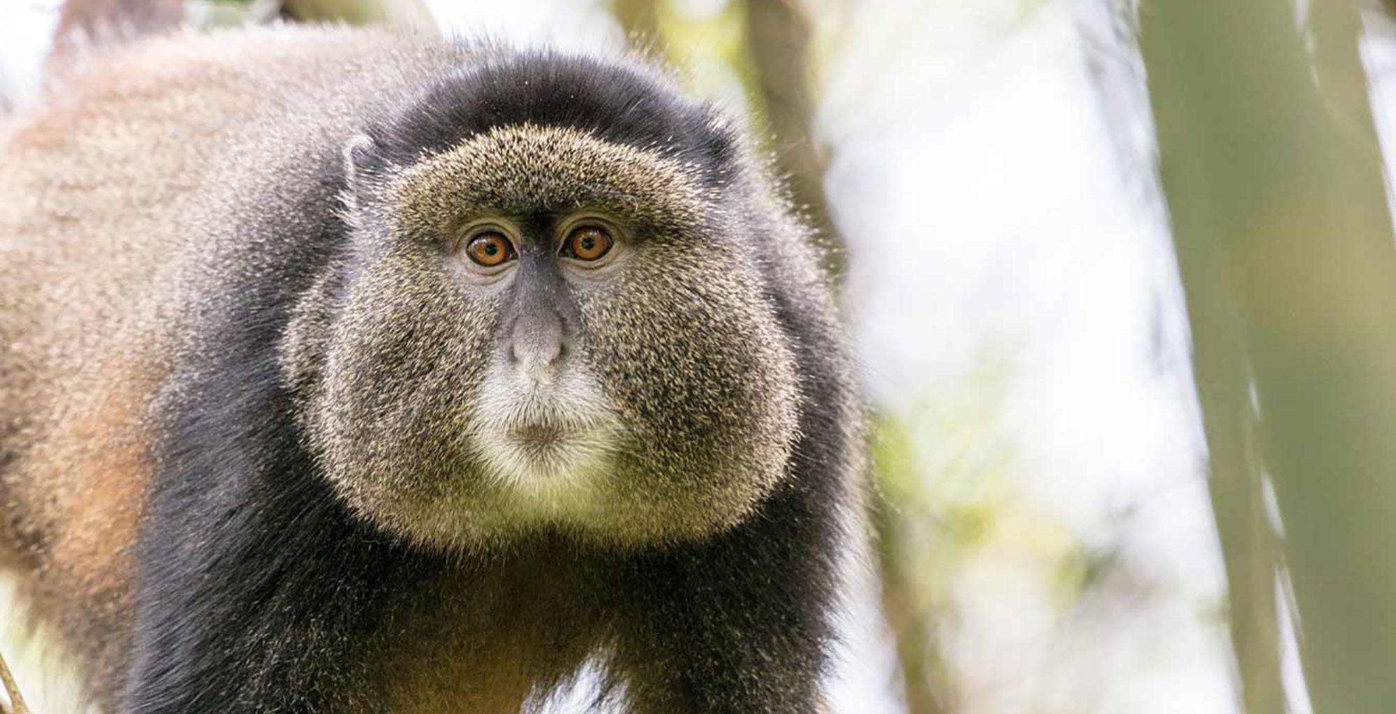 Uganda-Mount-Gahinga-Golden-Monkey