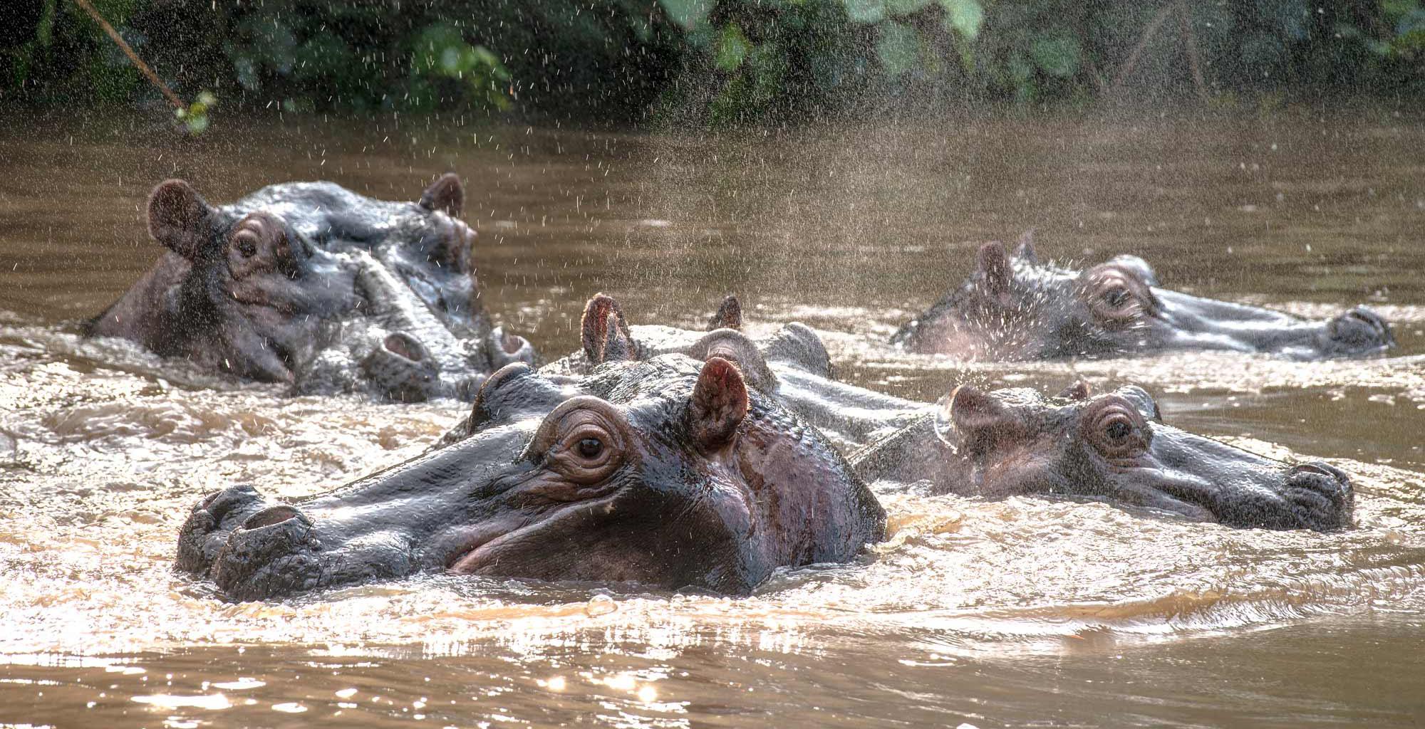 Uganda-Kyambura-Gorge-Hippo