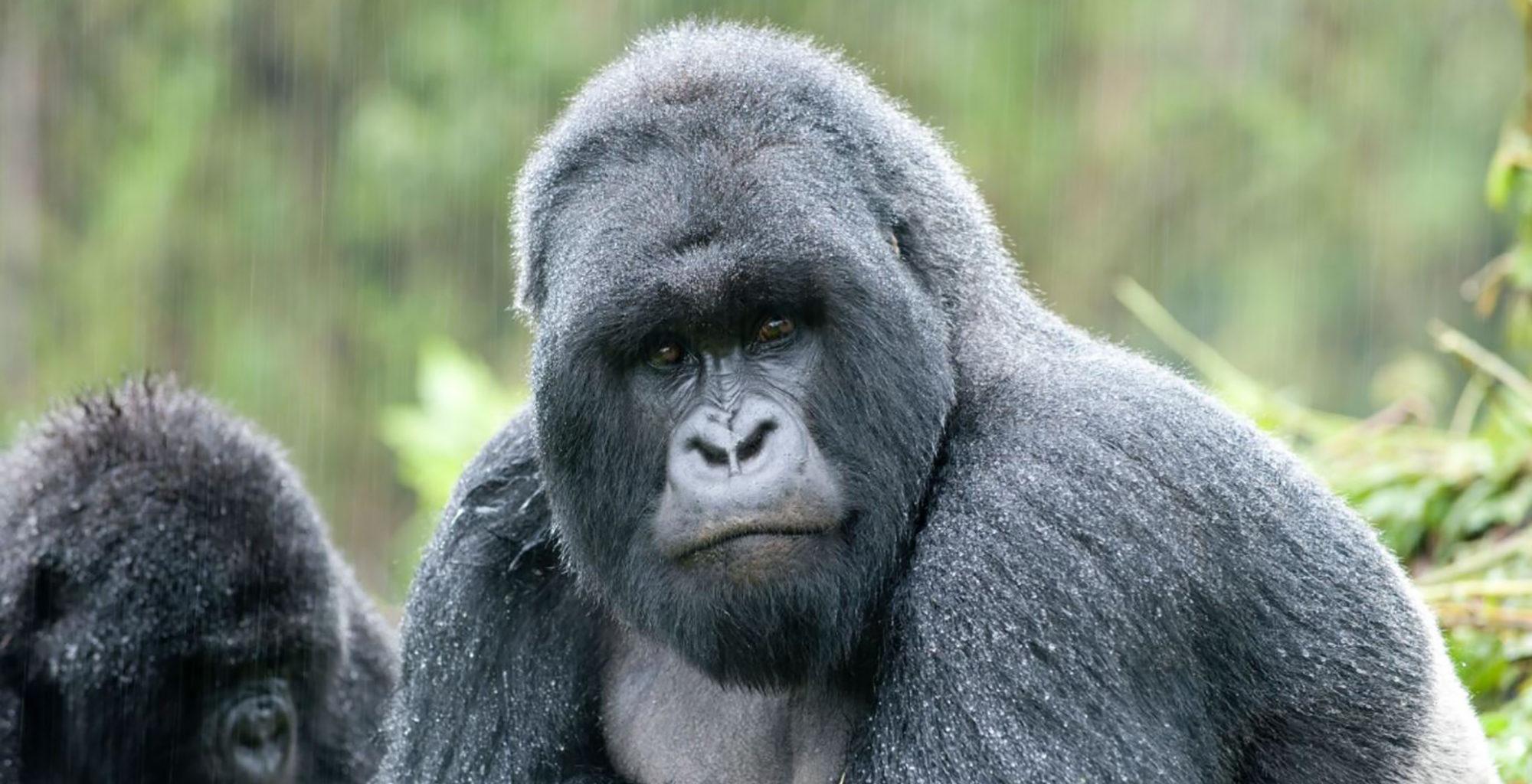 Uganda-Mount-Gahinga-Gorilla
