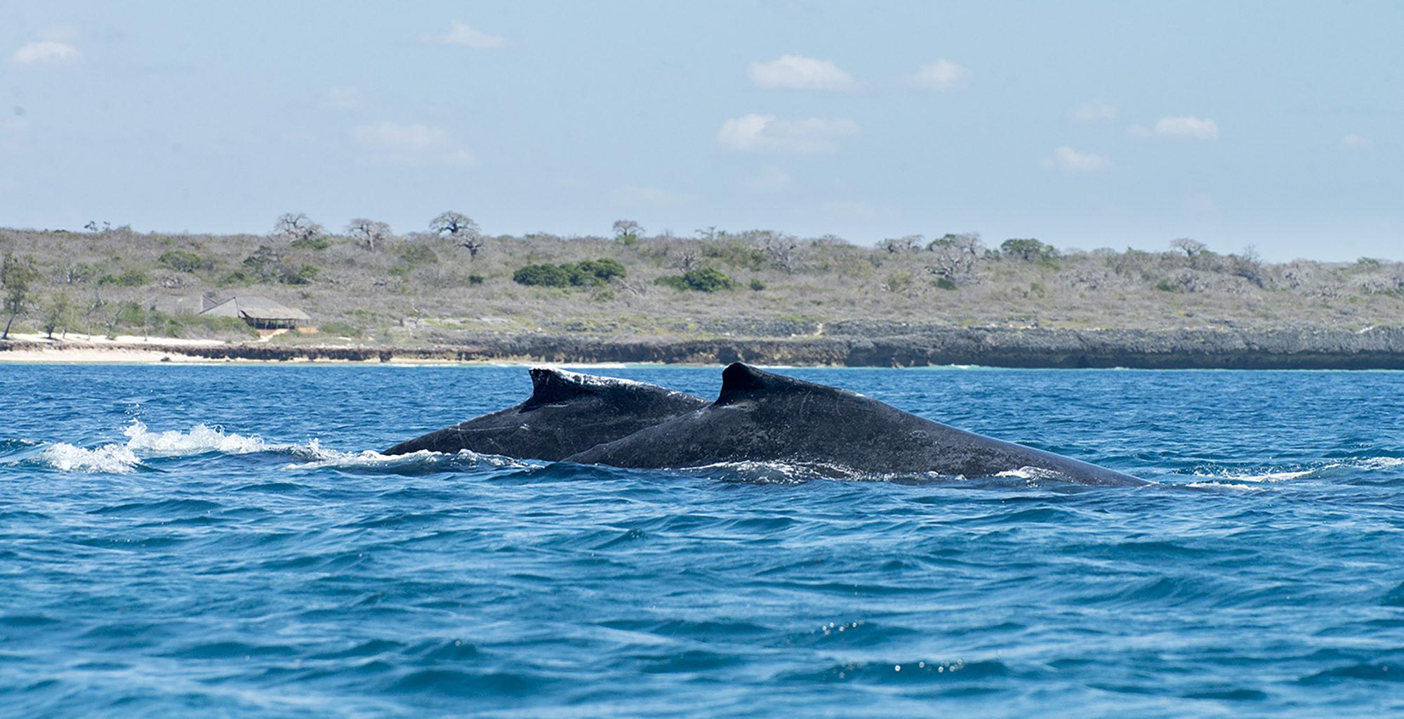 Illha-de-Mozambique-Nampula-Sealife-Humpback-Whale