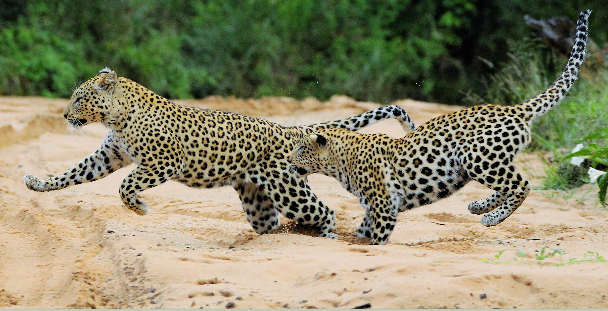 Namibia-Okonjima-Bush-Suite-Leopard
