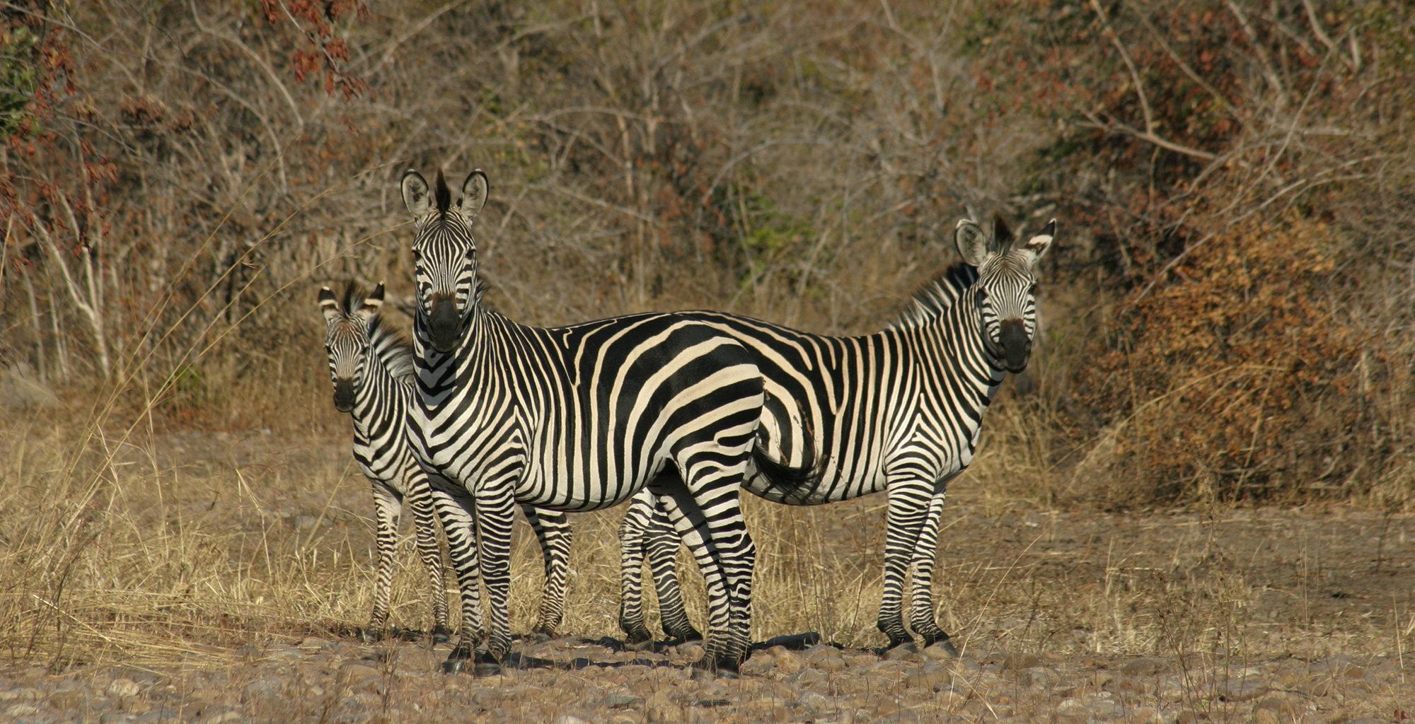 Zambia-North-Luangwa-Wildlife-Zebra
