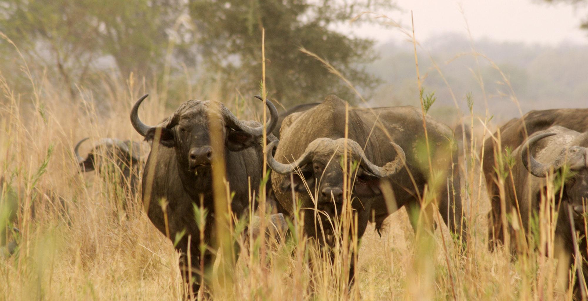 Zambia-North-Luangwa-Wildlife-Buffalo