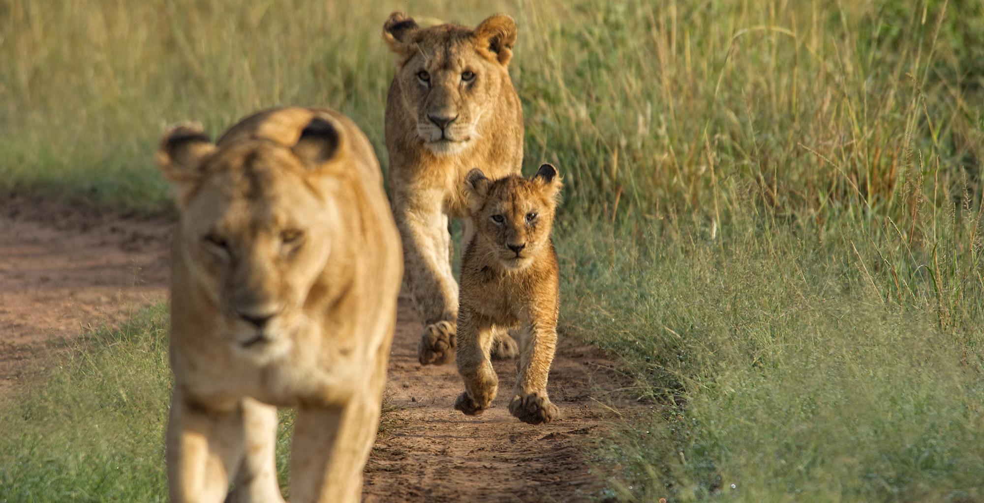 An examination of the safari in kenya