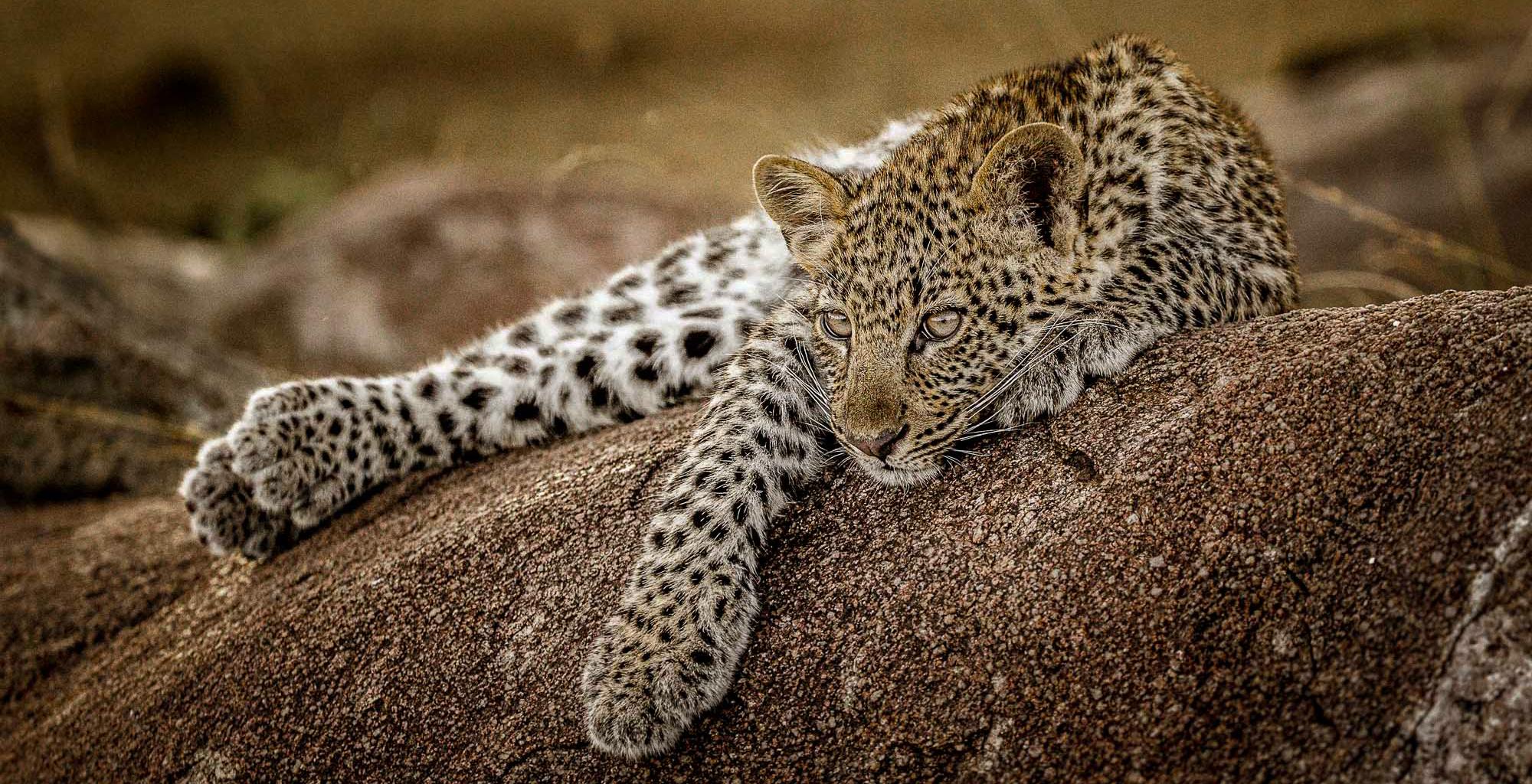 Tanzania-Legendary-Serengeti-Camp-Leopard