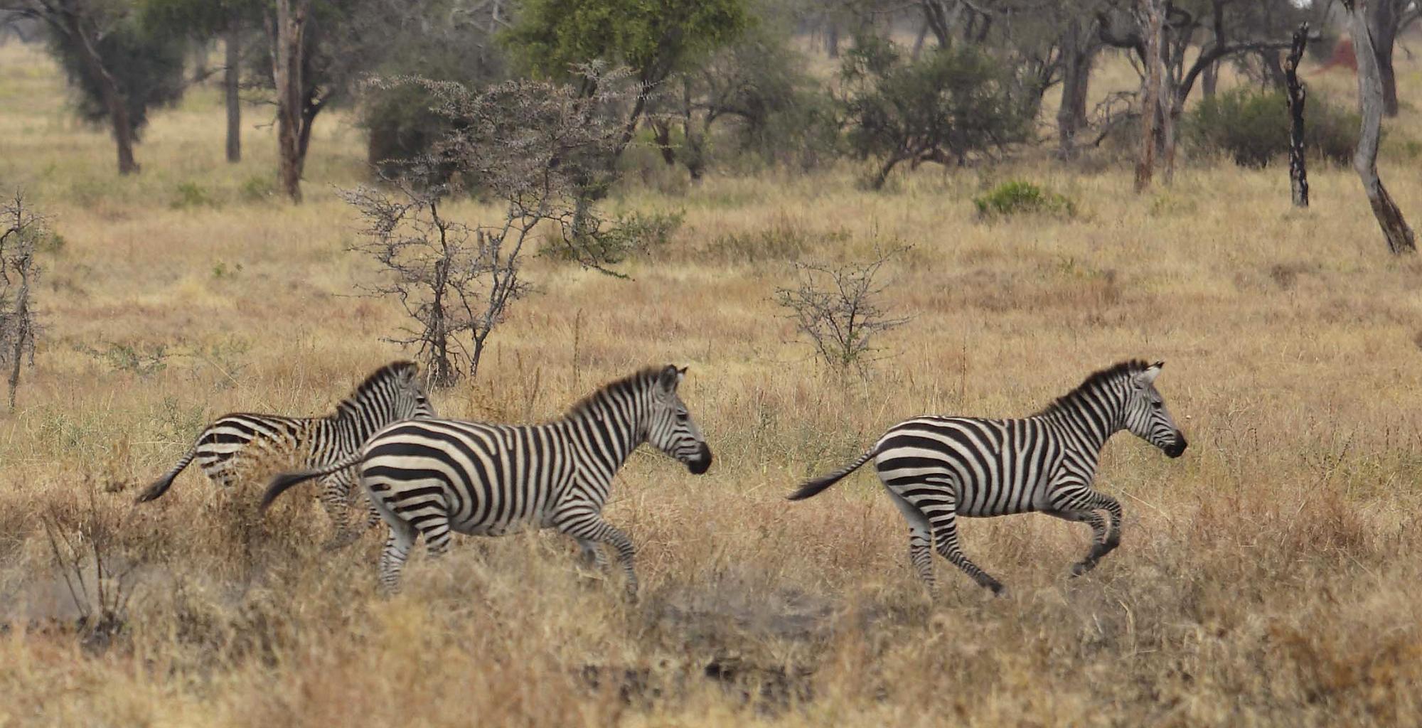 Tanzania-Olivers-Tented-Camp-Wildlife-Zebra