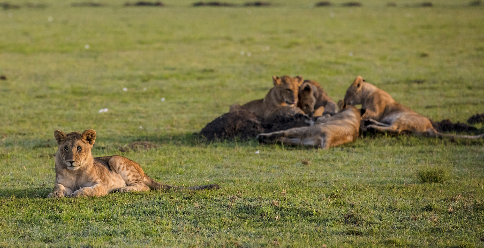 Namibia-Kulala-Desert-Lodge-Lions